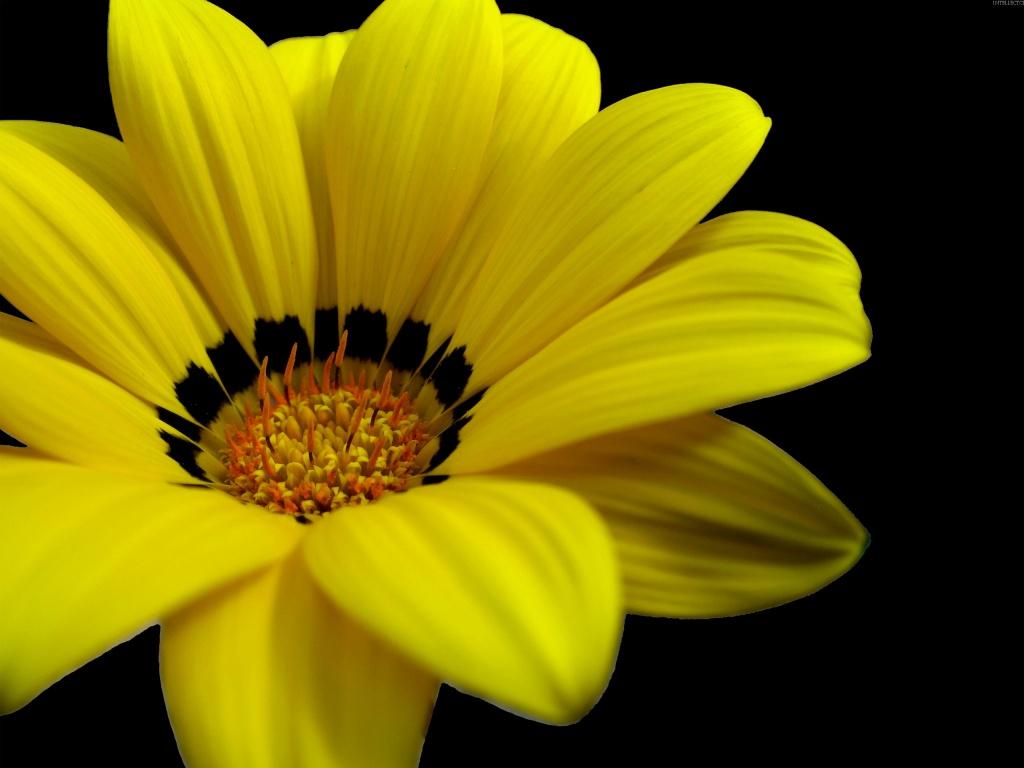 Great yellow flower wallpapers in jpg format for free download great yellow flower wallpapers mightylinksfo