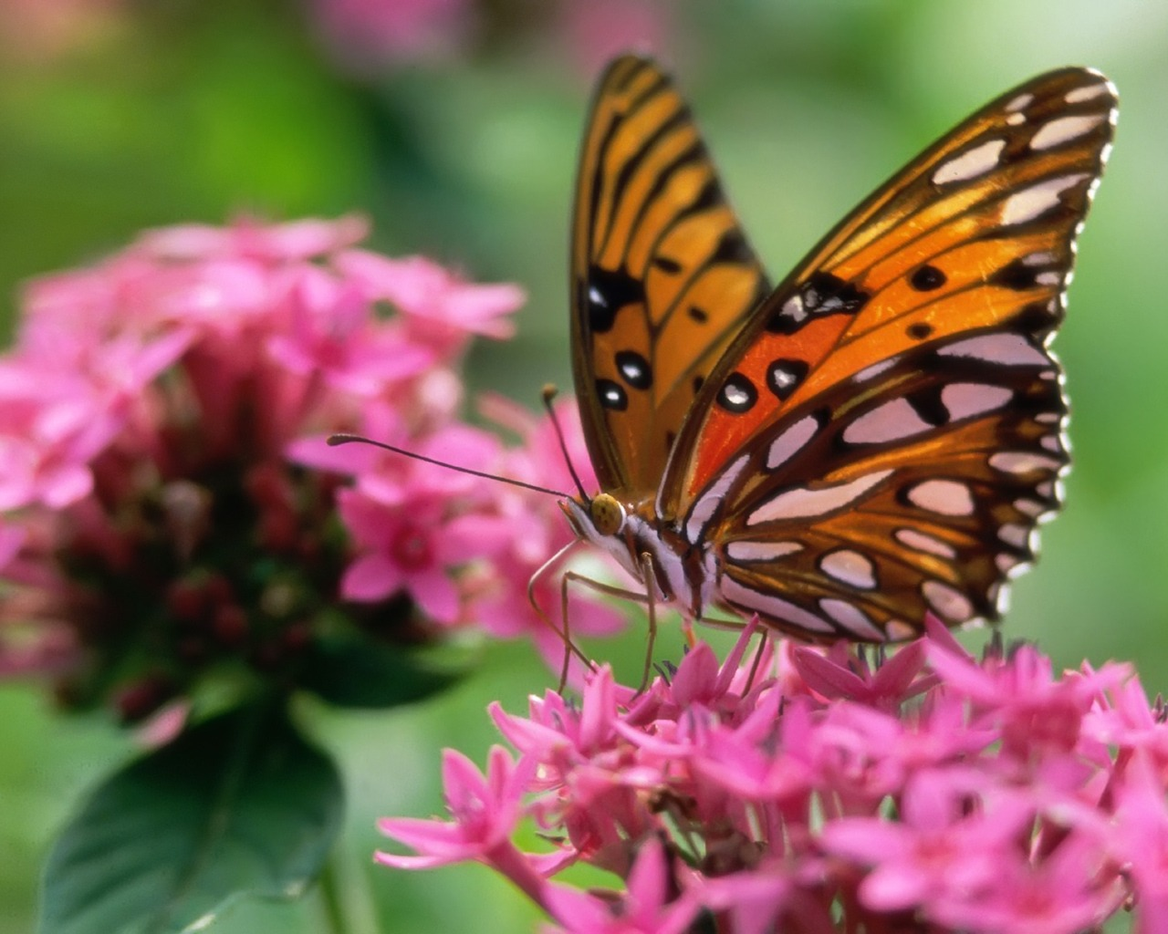 Butterfly On A Pink Flower Wallpaper Butterflies Animals