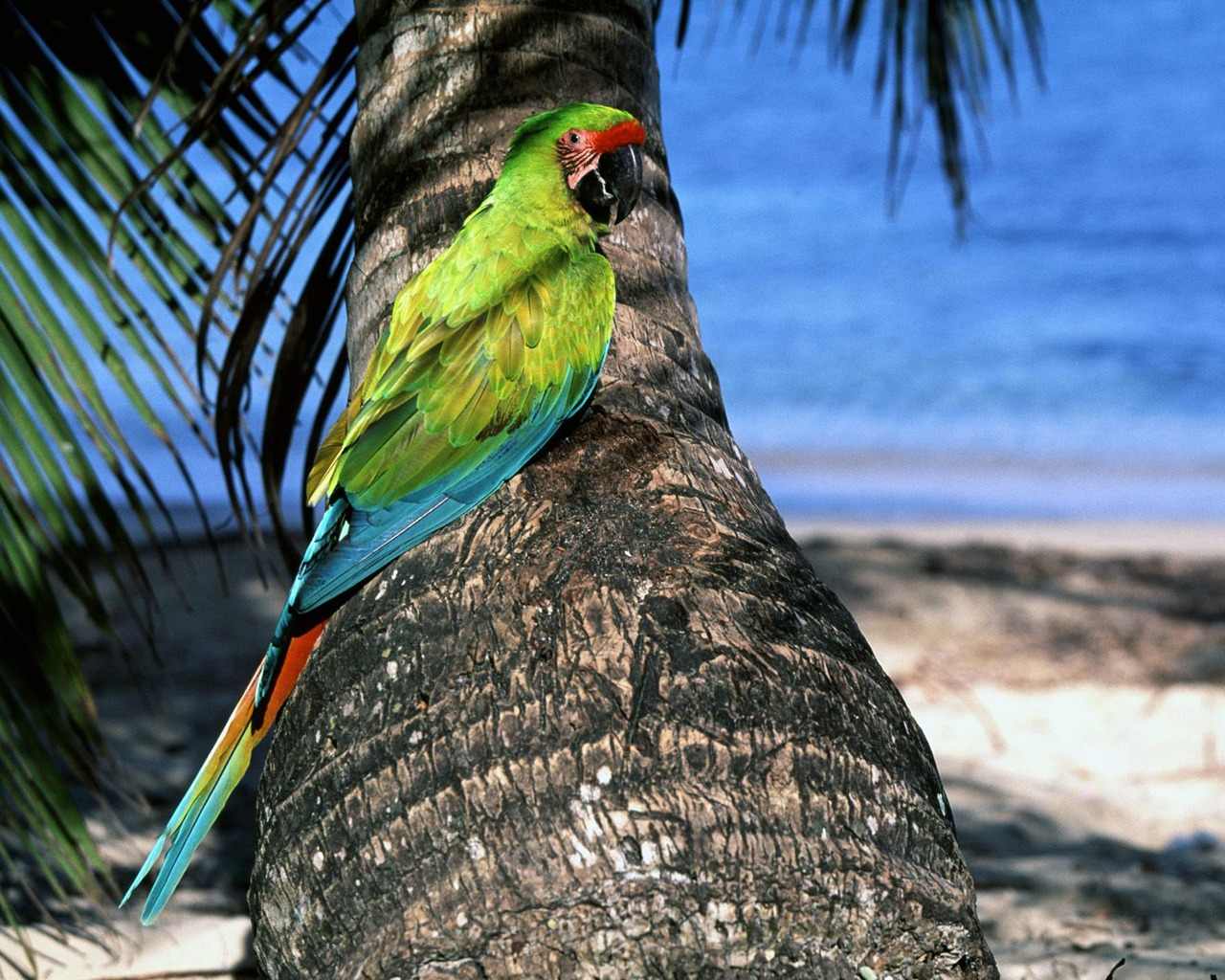 Great Green Macaw Wallpaper Parrots Animals Wallpapers in jpg format