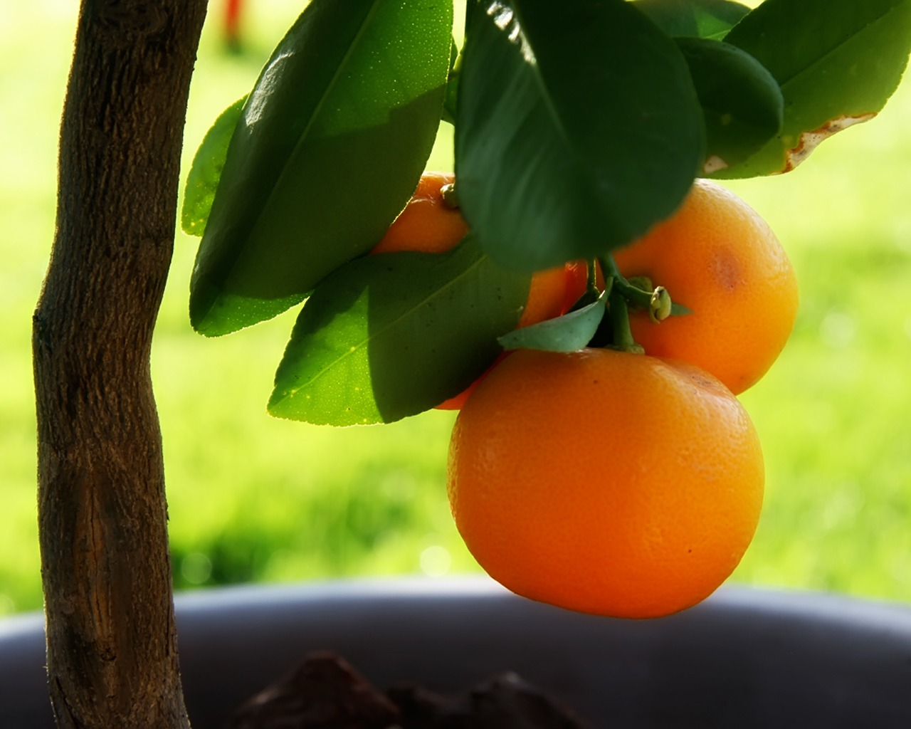 Little Orange Tree Wallpaper Plants Nature Wallpapers In Jpg Format For Free Download