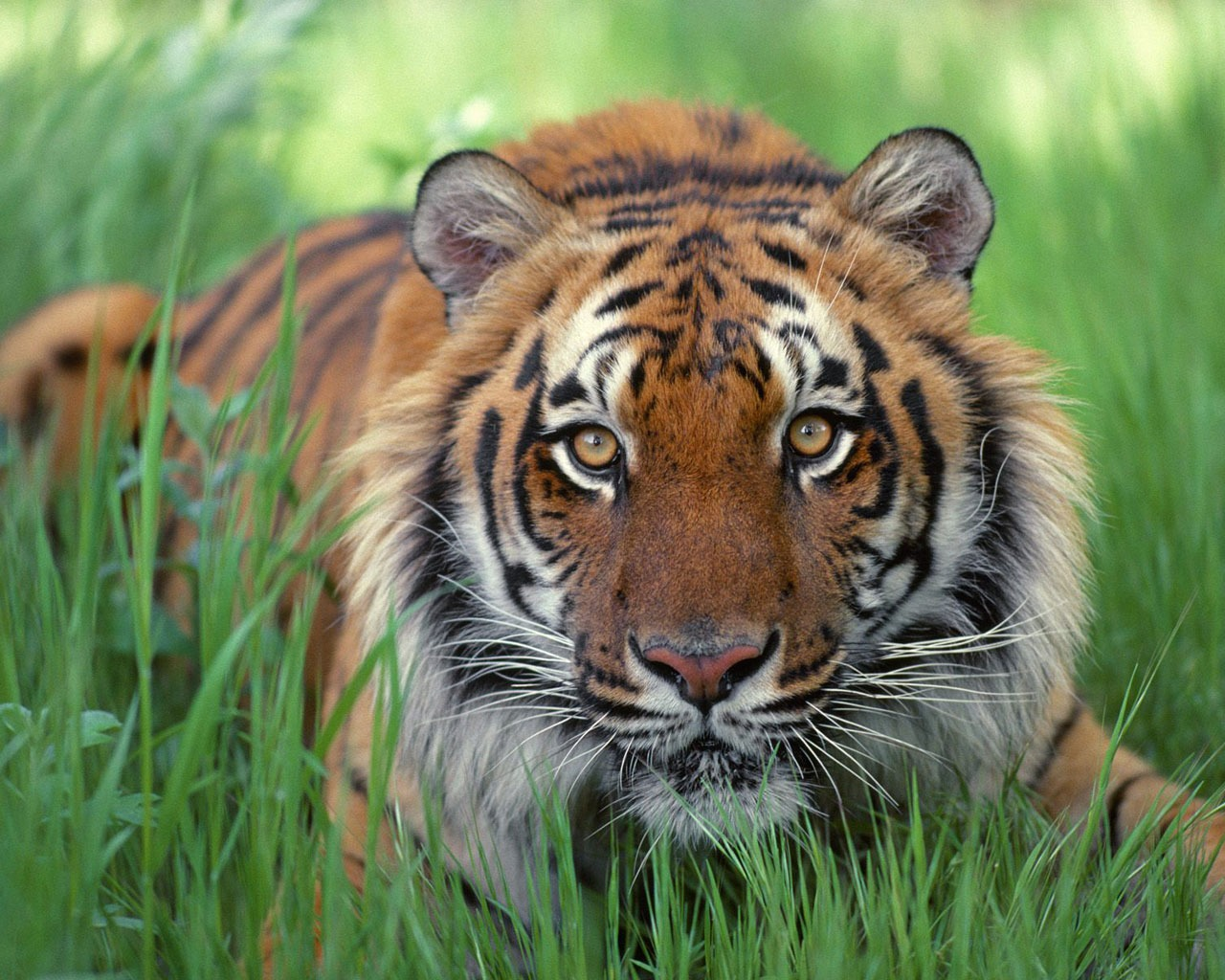 watchful eyes bengal tiger wallpaper tigers animals wallpapers in