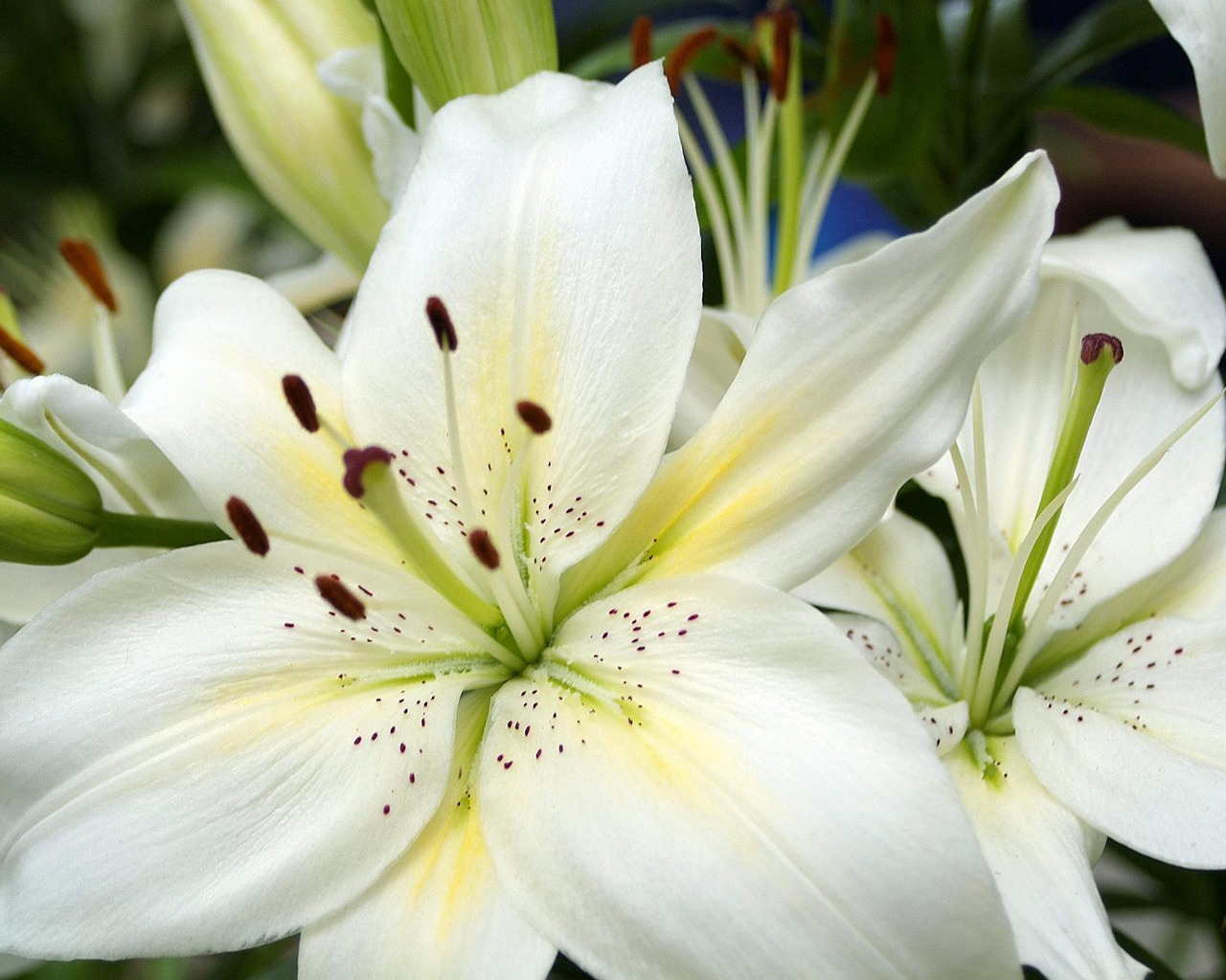White Lilies Wallpaper Flowers Nature Wallpapers In Jpg Format For