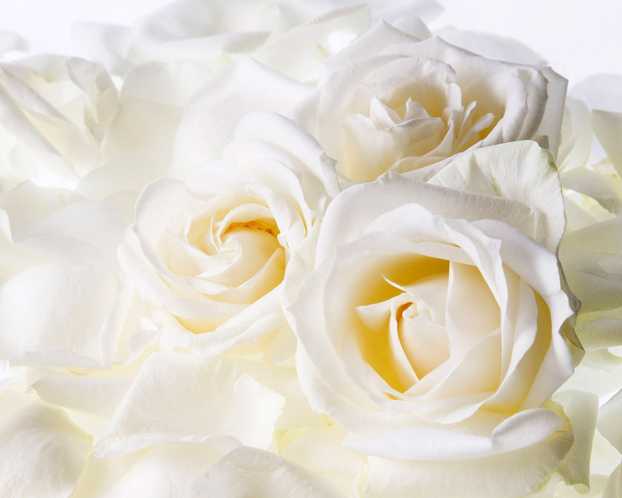 White Roses Wallpapers In Jpg Format For Free Download