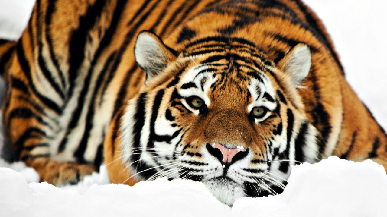 tiger hd 1080p wallpapers in jpg format for free download
