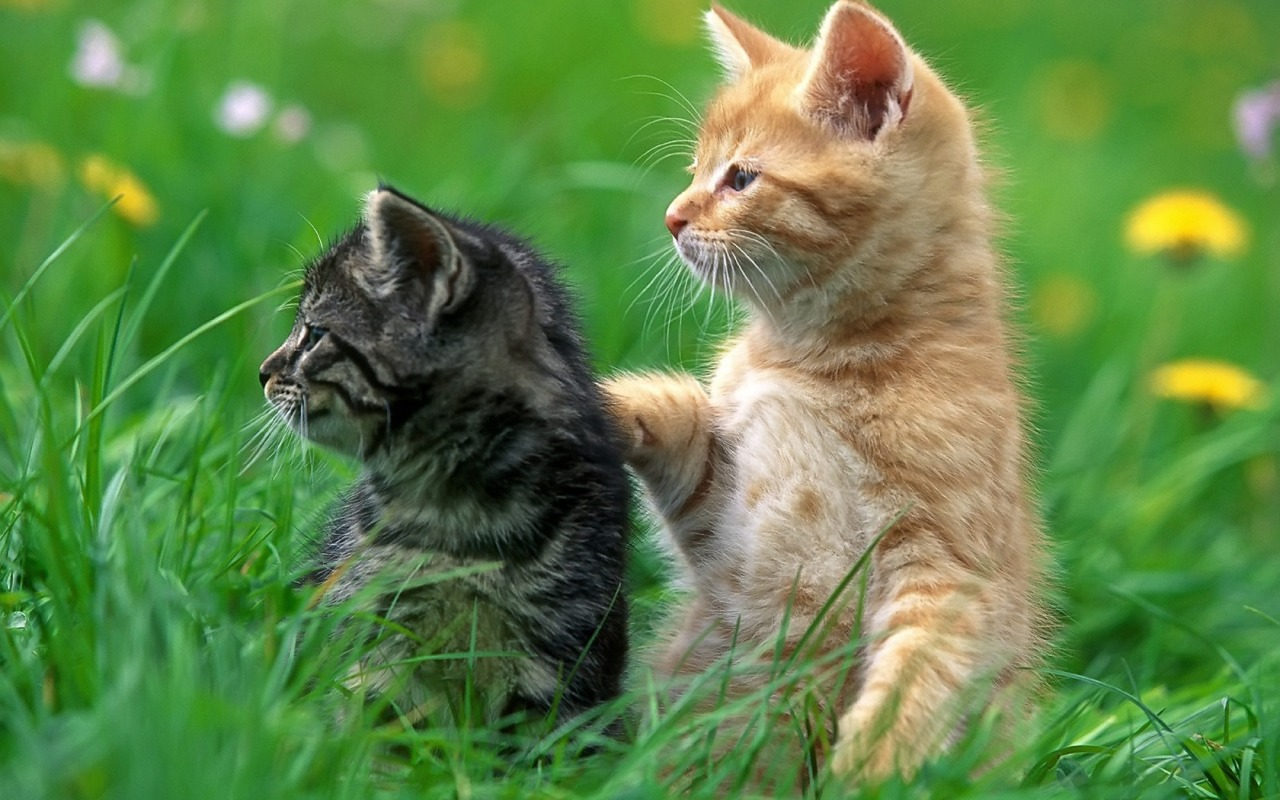 2 kittens wallpaper cats animals wallpapers in jpg format for free 2 kittens wallpaper cats animals wallpapers thecheapjerseys Gallery