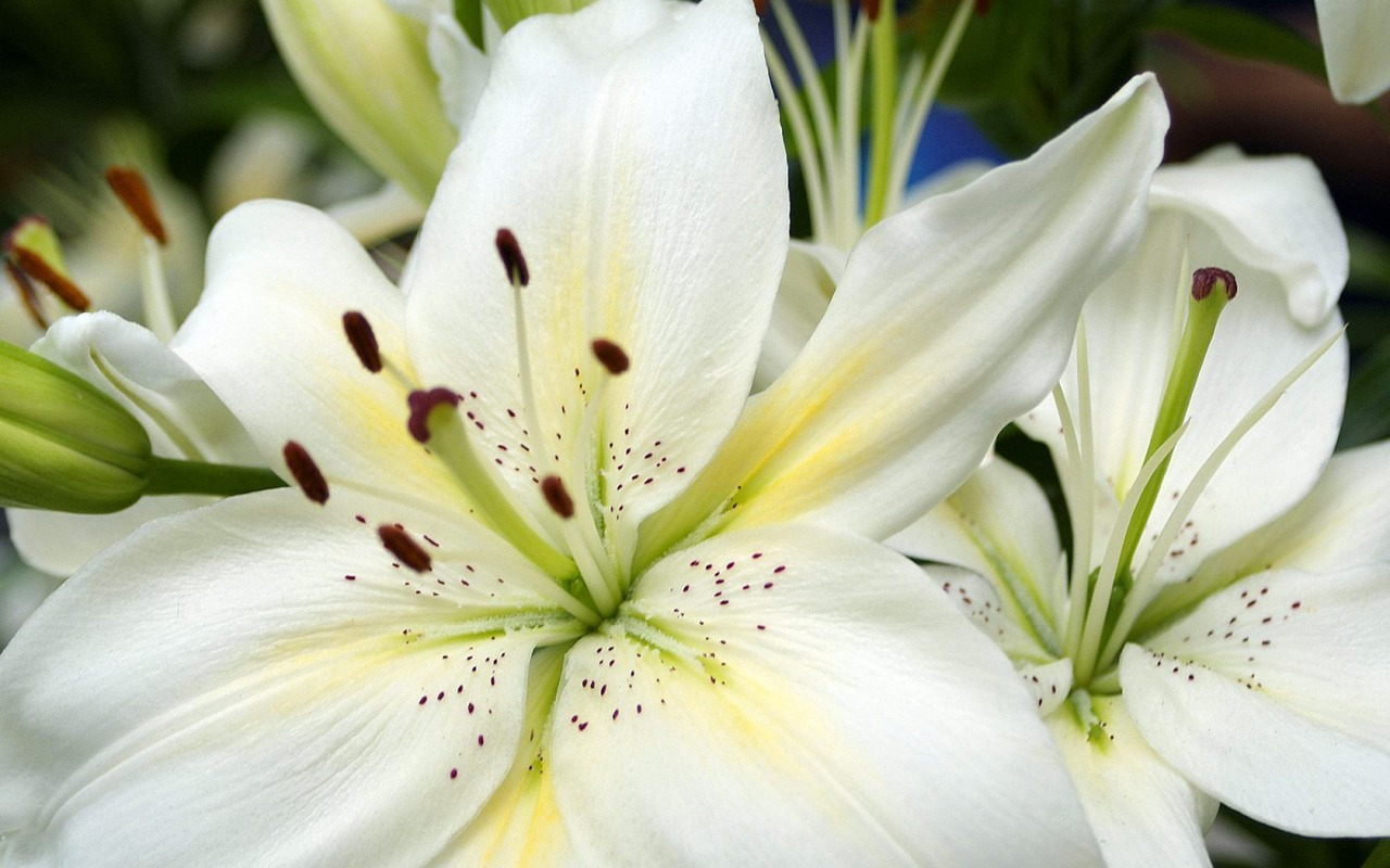 white lilies wallpaper flowers nature wallpapers in jpg format for, Beautiful flower