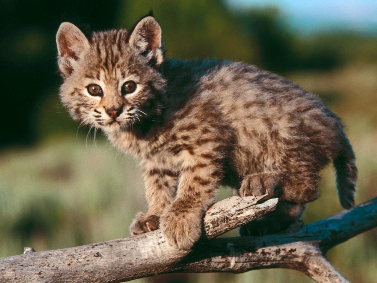 Baby Bobcat Wallpaper Baby Animals Animals Wallpapers In Jpg Format For Free Download