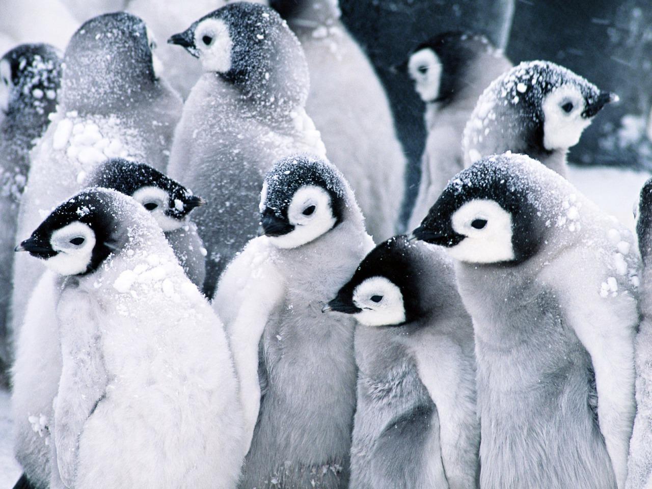 baby penguins wallpaper penguins animals wallpapers in jpg format