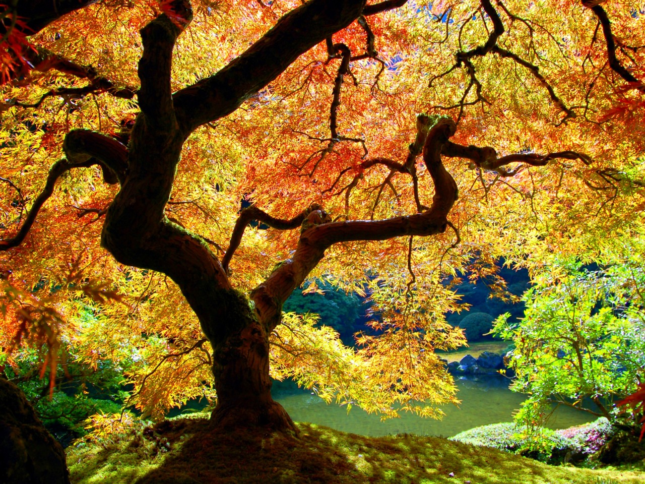 Japanese Maple Wallpaper Plants Nature Wallpapers in jpg format ...