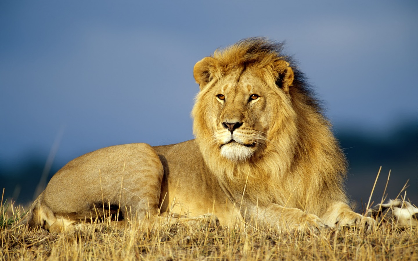 lion wallpapers big cats | collection 12+ wallpapers