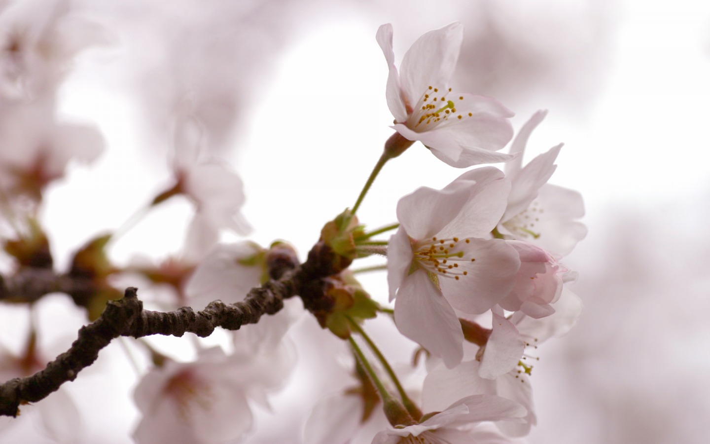 Cherry Flowers Wallpaper Spring Nature Wallpapers in jpg format