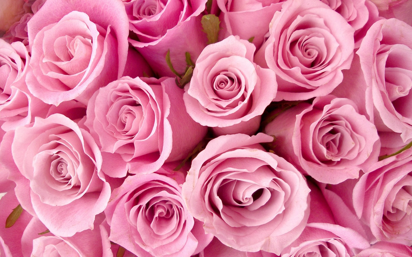 Special Pink Roses Wallpapers In Jpg Format For Free Download
