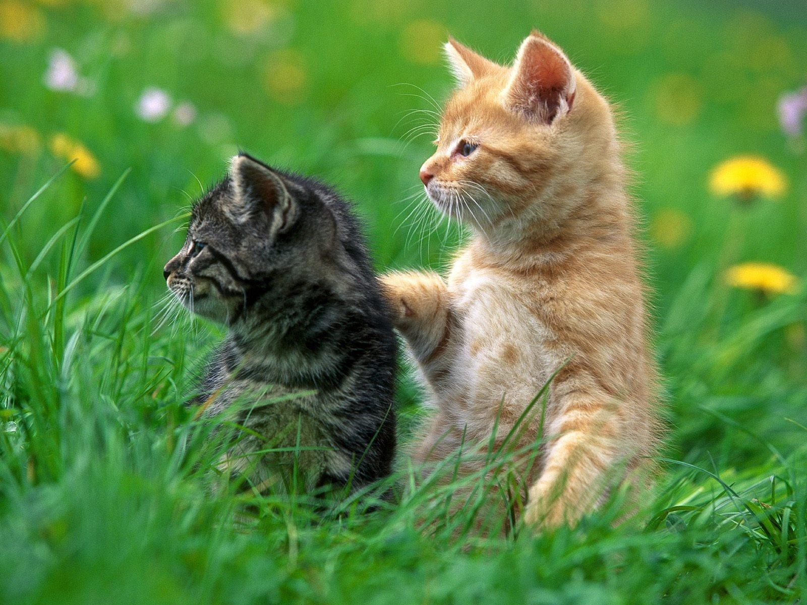 2 kittens wallpaper cats animals wallpapers in jpg format for free 2 kittens wallpaper cats animals wallpapers thecheapjerseys Choice Image