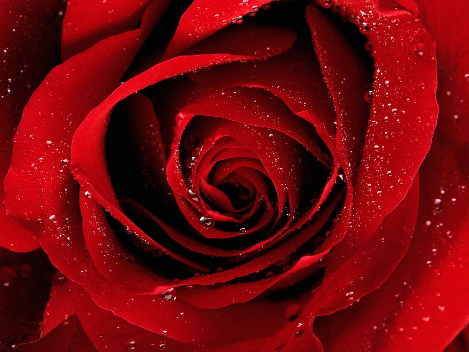 A Red Rose For You Wallpaper Flowers Nature Wallpapers In Jpg Format