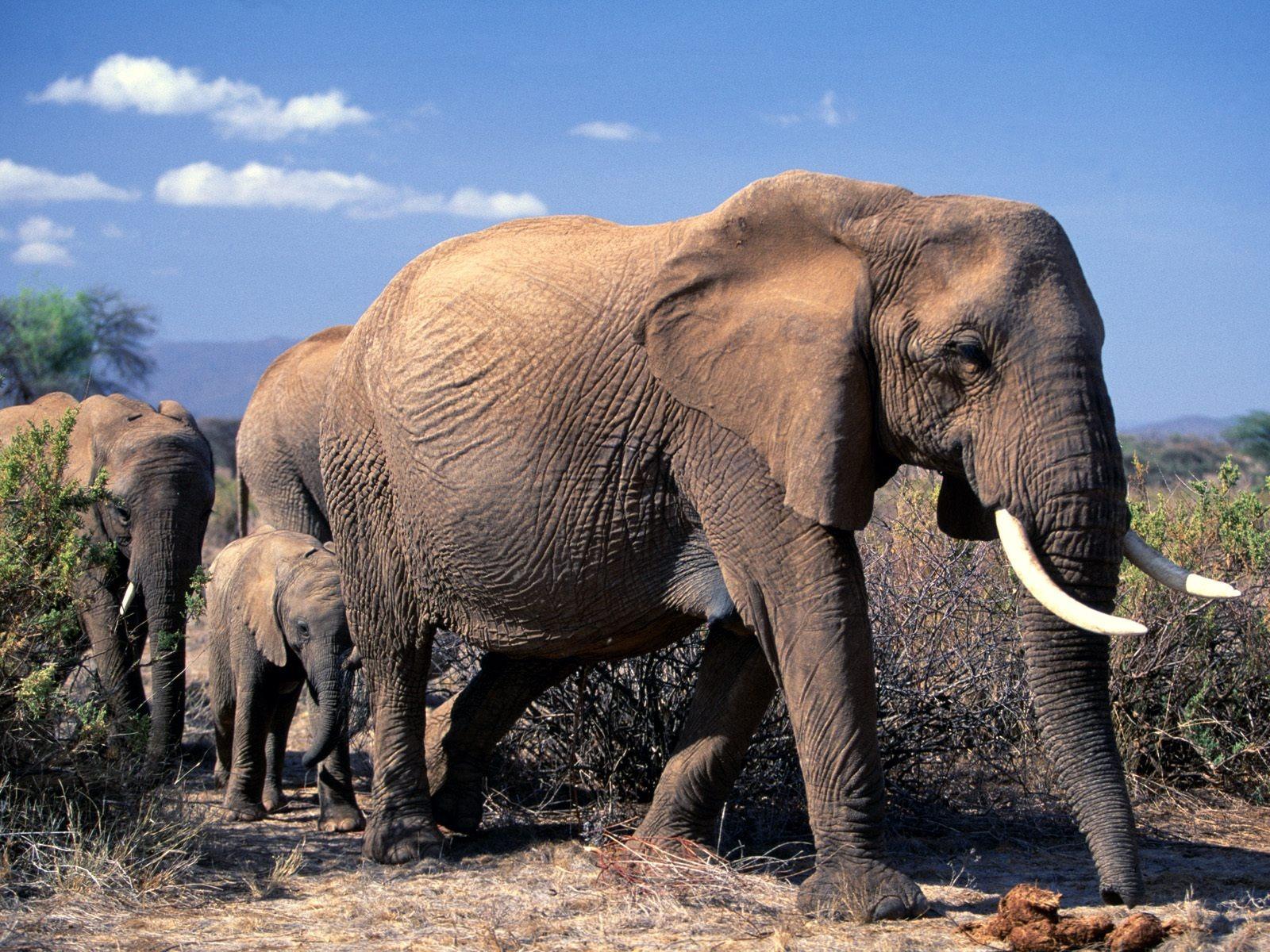 African Elephants Wallpaper Animals Wallpapers