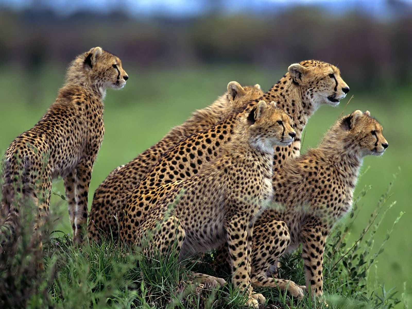 Animated Cheetah Wallpaper anticipation wallpaper cheetahs animals wallpapers in jpg