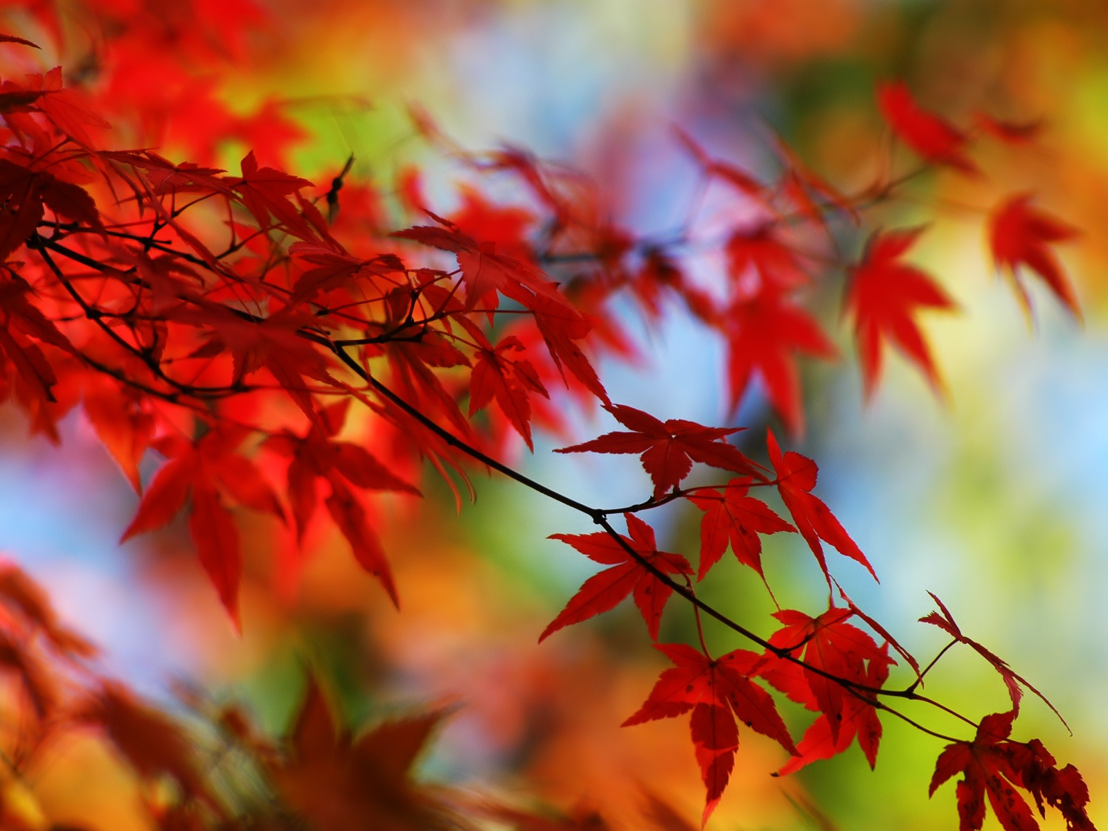 Leaves wallpapers Page Plants Hd Nature ll Maple