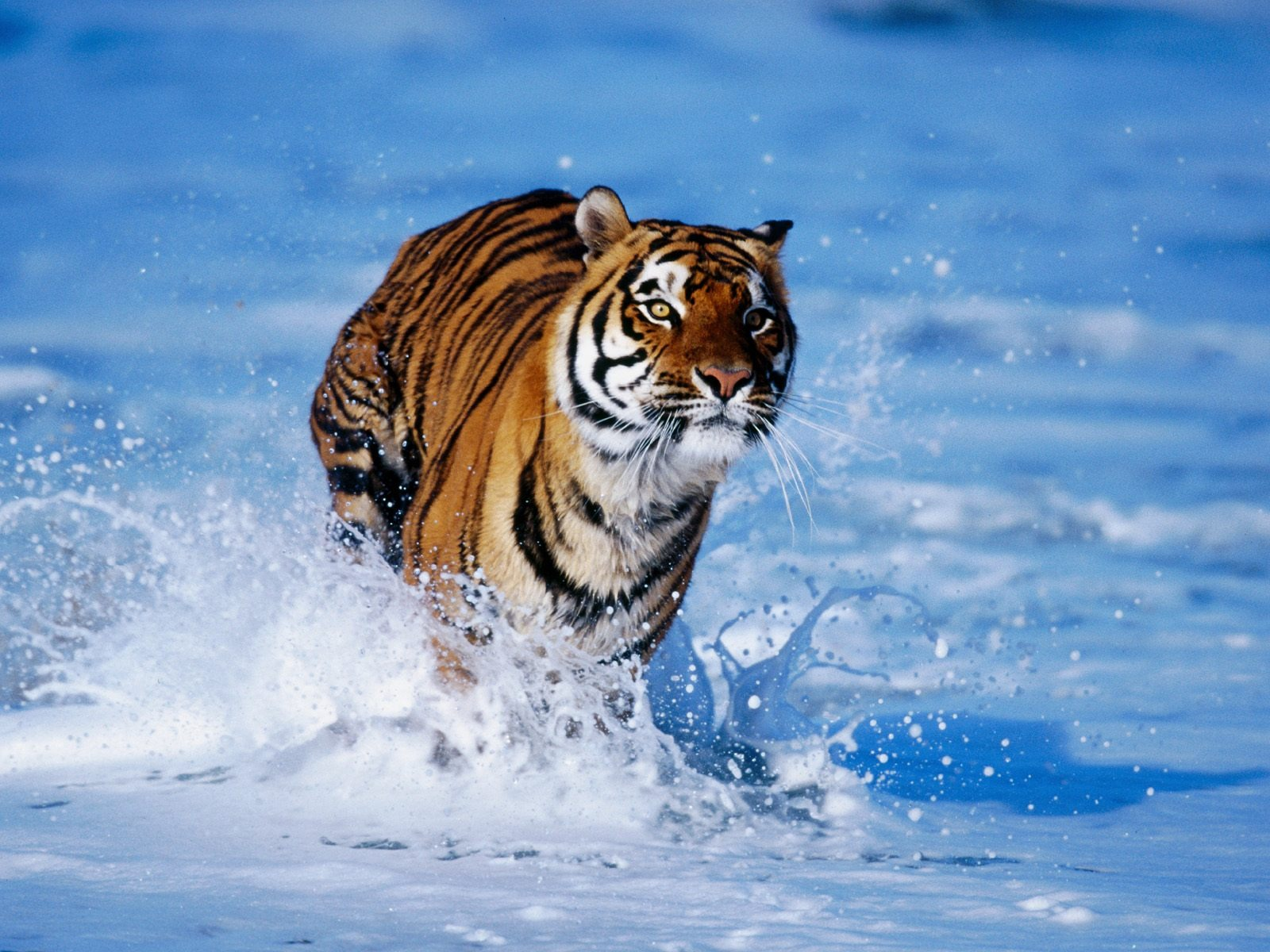Bengal Tiger Wallpaper Tigers Animals Wallpapers