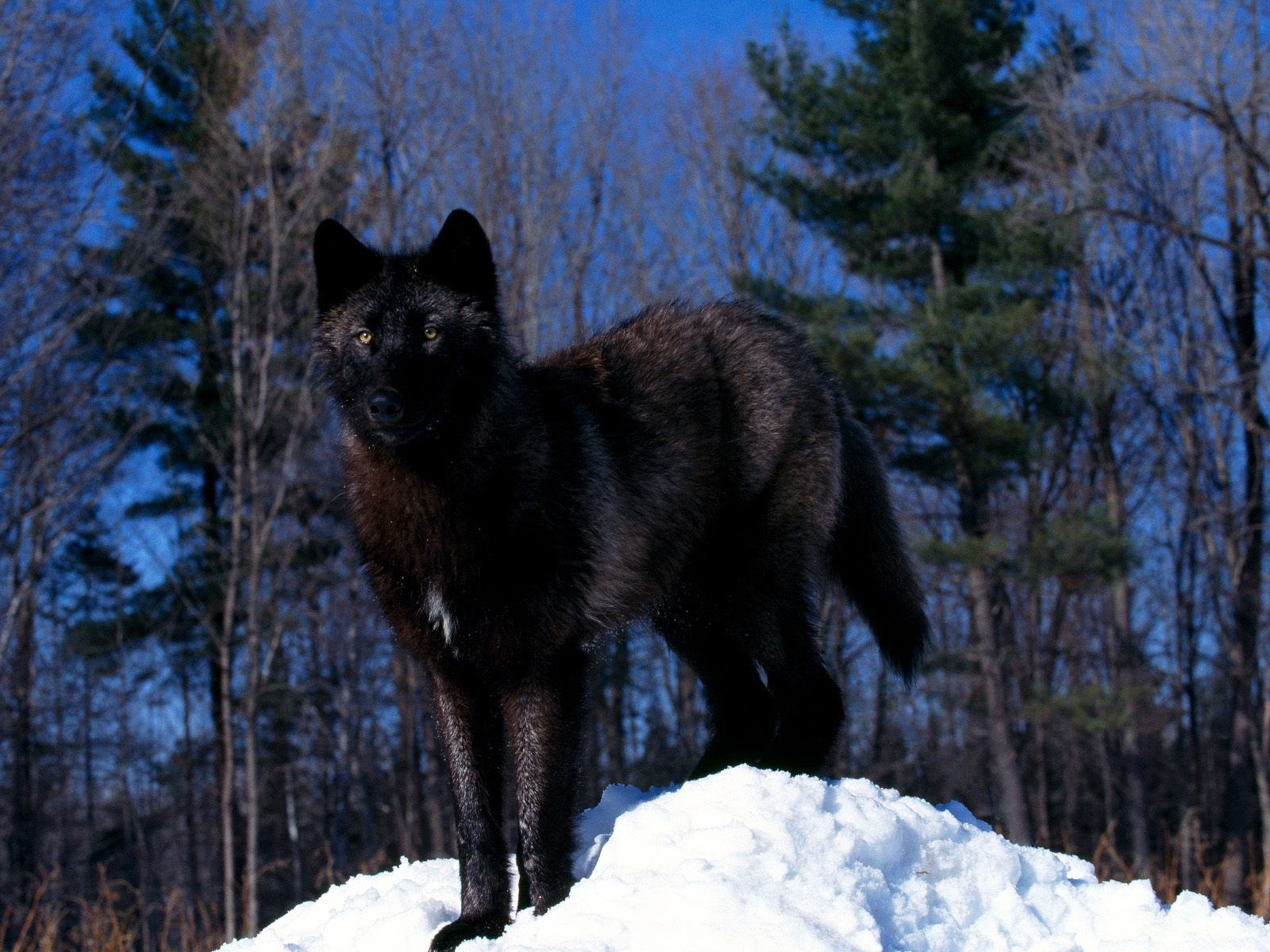 Black Wolf In Snow Wallpaper Wolves Animals Wallpapers