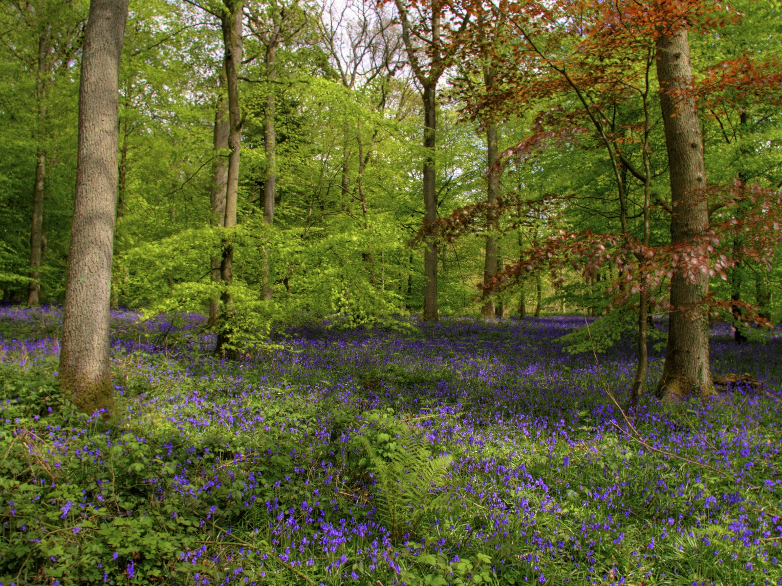 Bluebell Wood Wallpaper High Dynamic Range Nature Wallpapers in