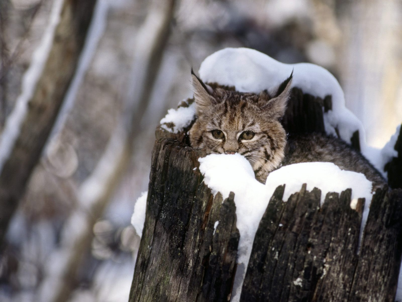Snow cats kittens funny animals fondo upscaled wallpaper ...
