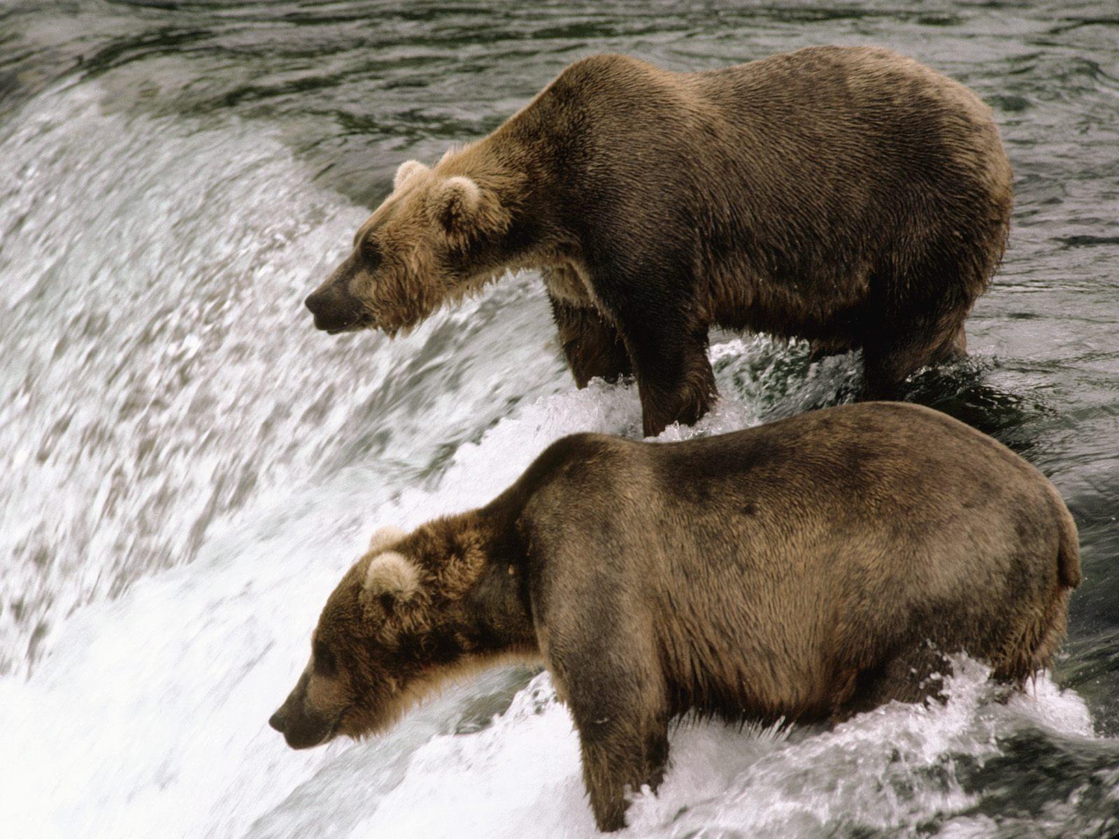 Wallpaper Of Bears