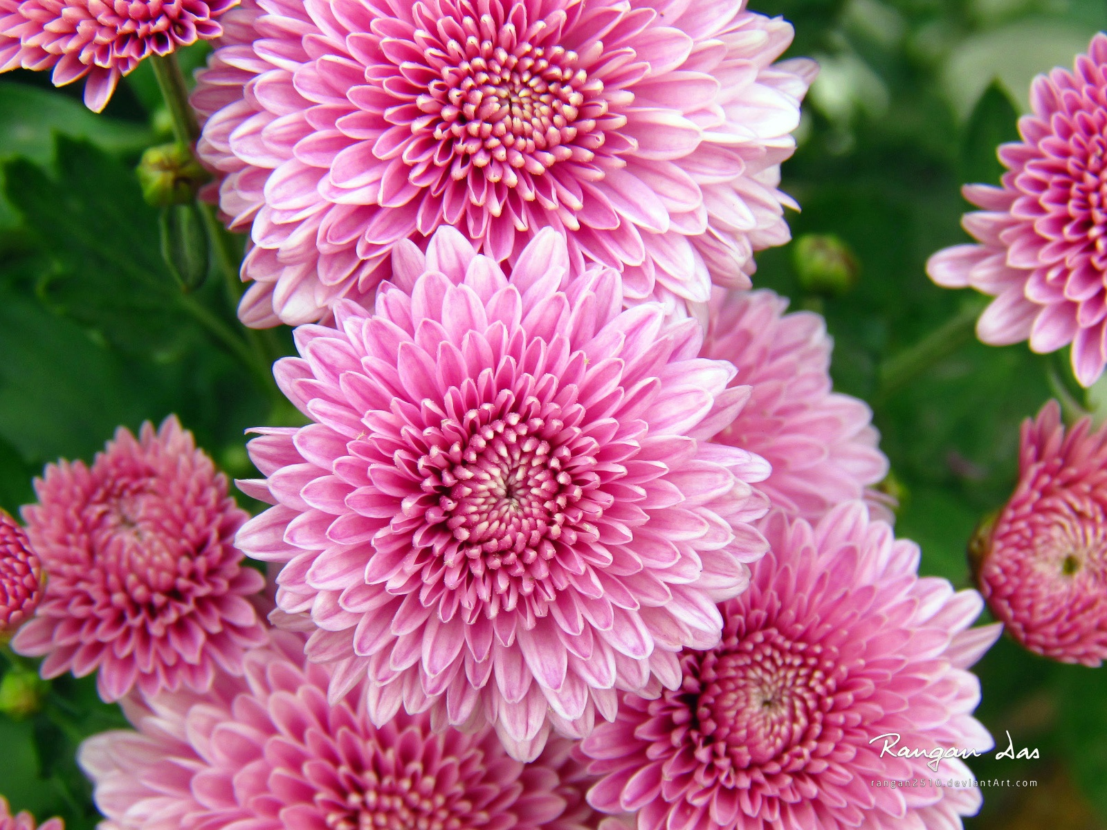 Chrysanthemum Flowers Wallpapers
