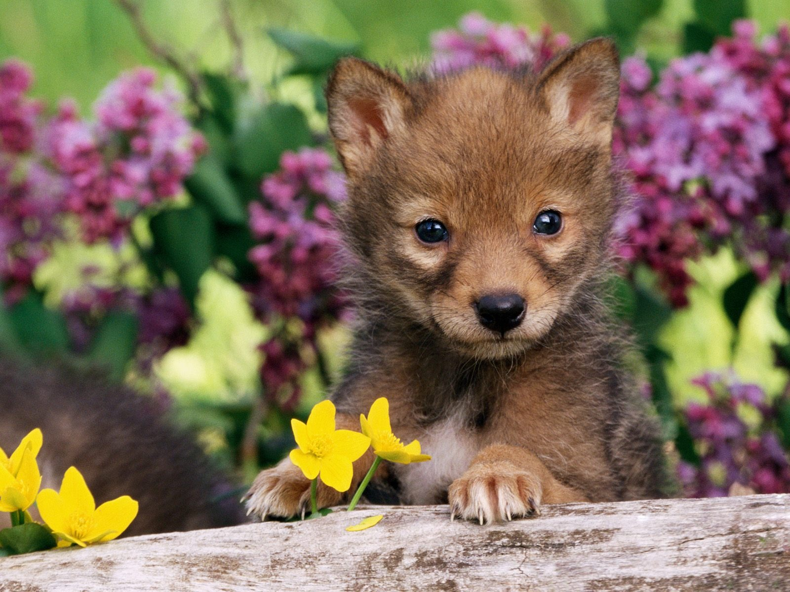 coyote pup wallpaper baby animals animals wallpapers in jpg format