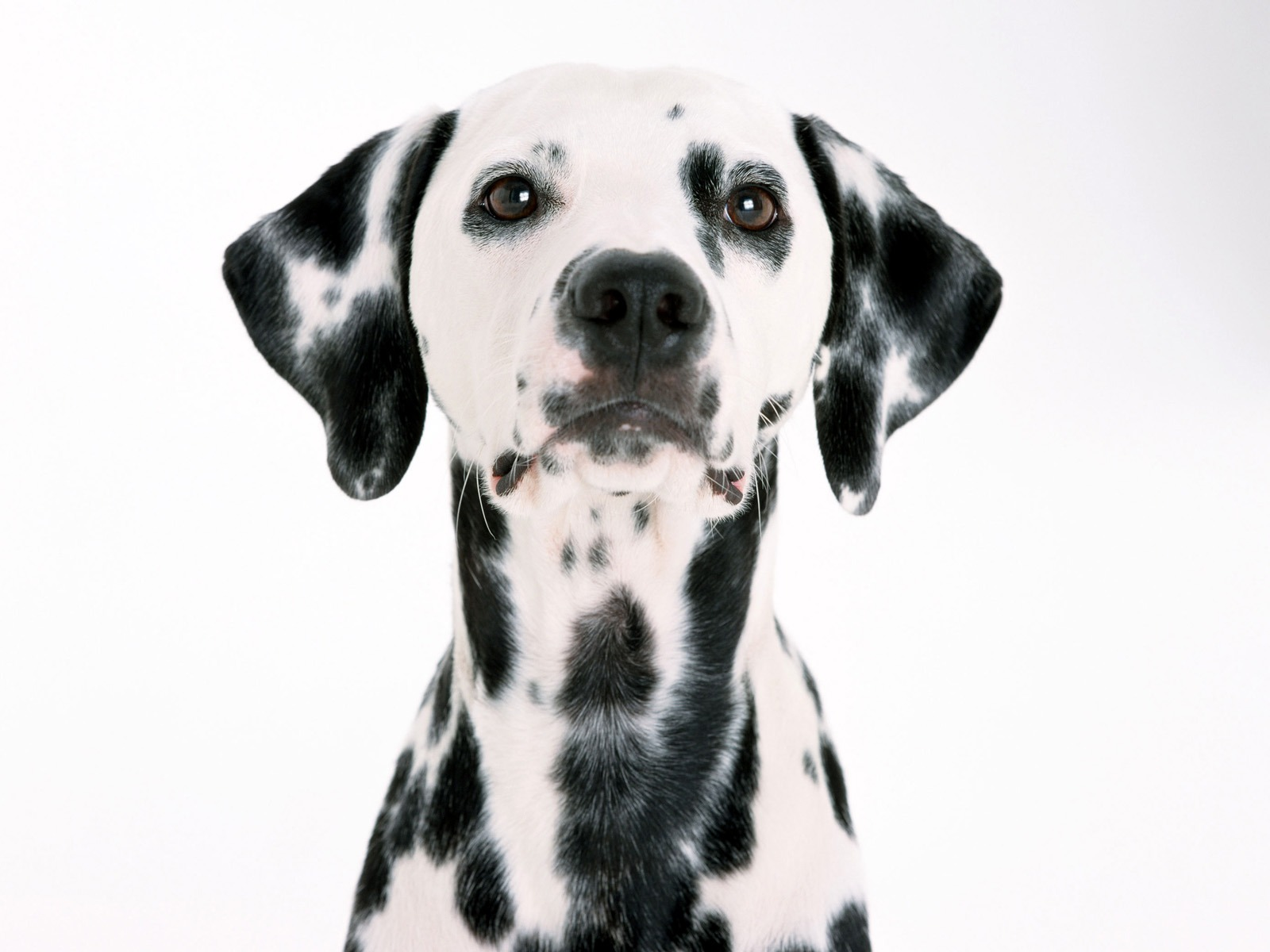 Dalmatian Wallpaper Dogs Animals Wallpapers