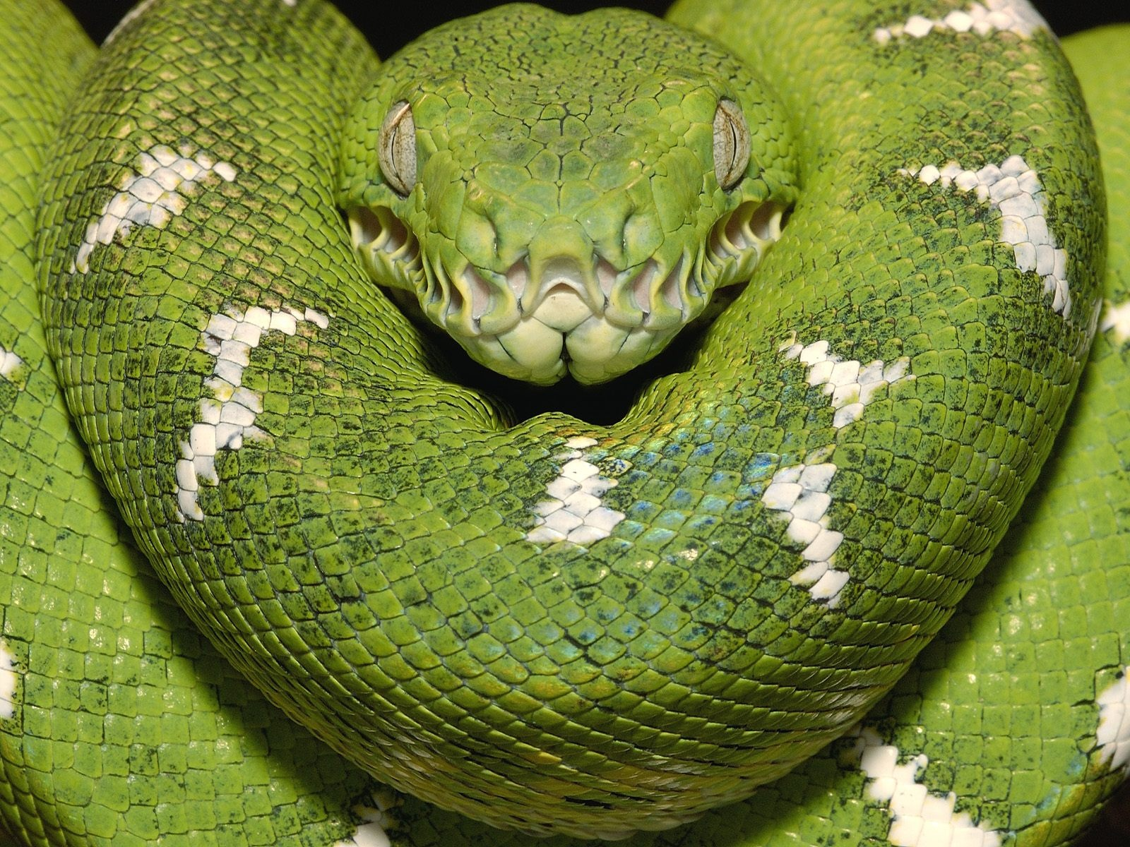 Emerald Tree Boa Amazon Equador Wallpapers in jpg format for free ...