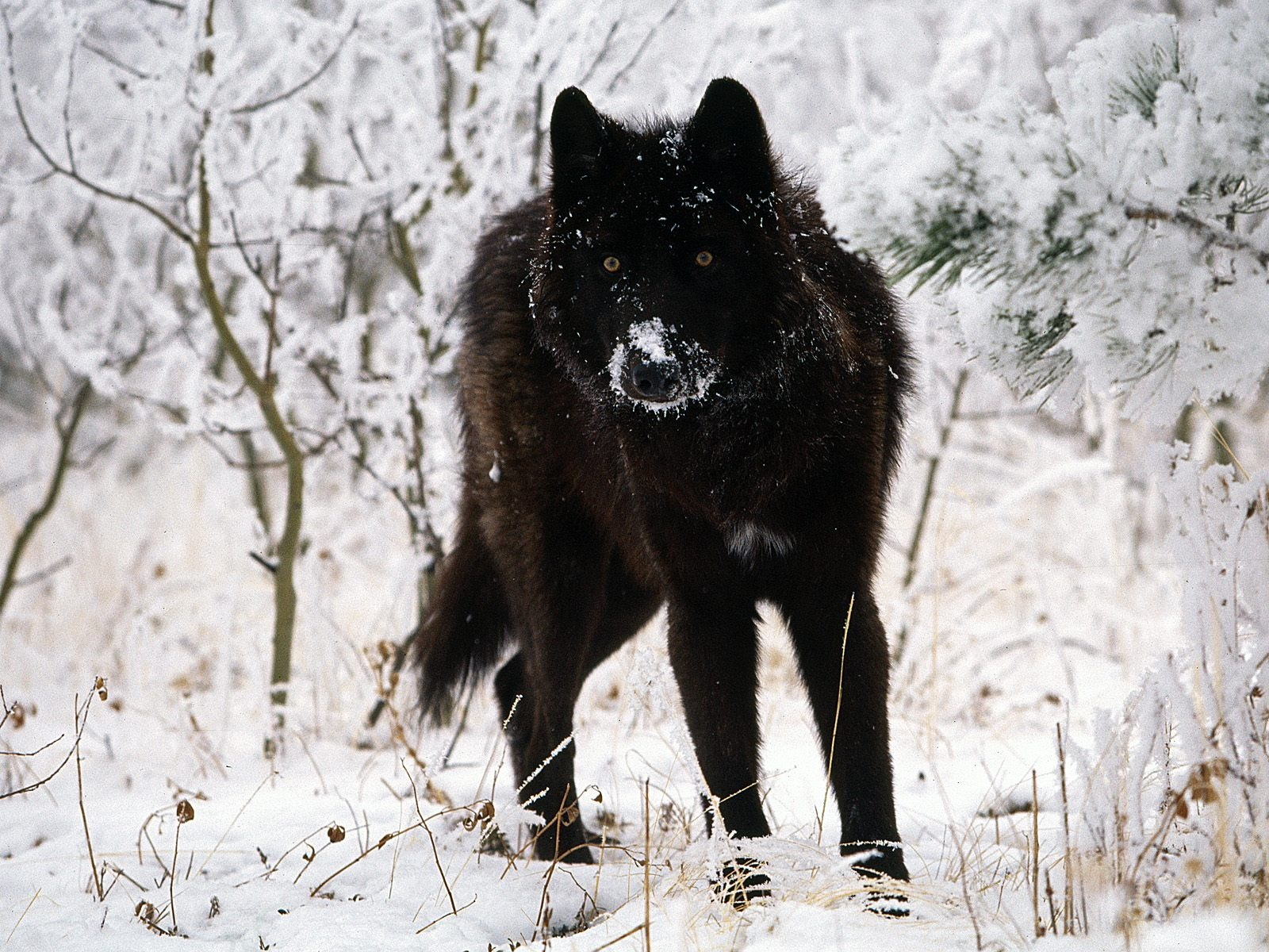 Gray Wolf Cold Stare Wallpaper Wolves Animals Wallpapers
