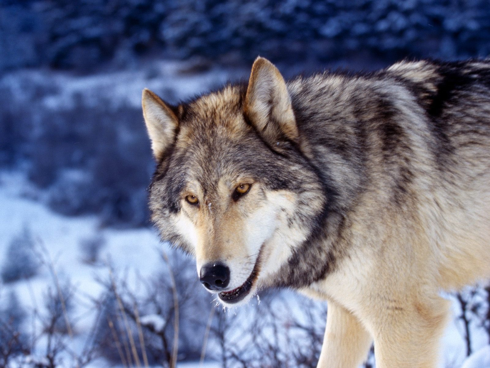 Gray Wolf In Snow Wallpaper Wolves Animals Wallpapers