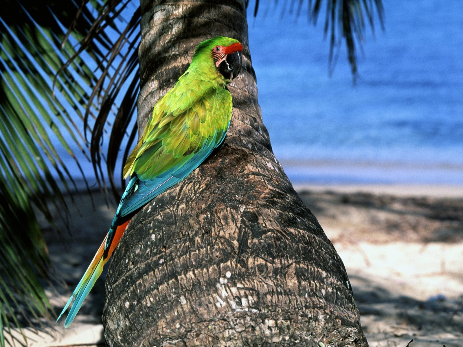 Great Green Macaw Wallpaper Parrots Animals Wallpapers