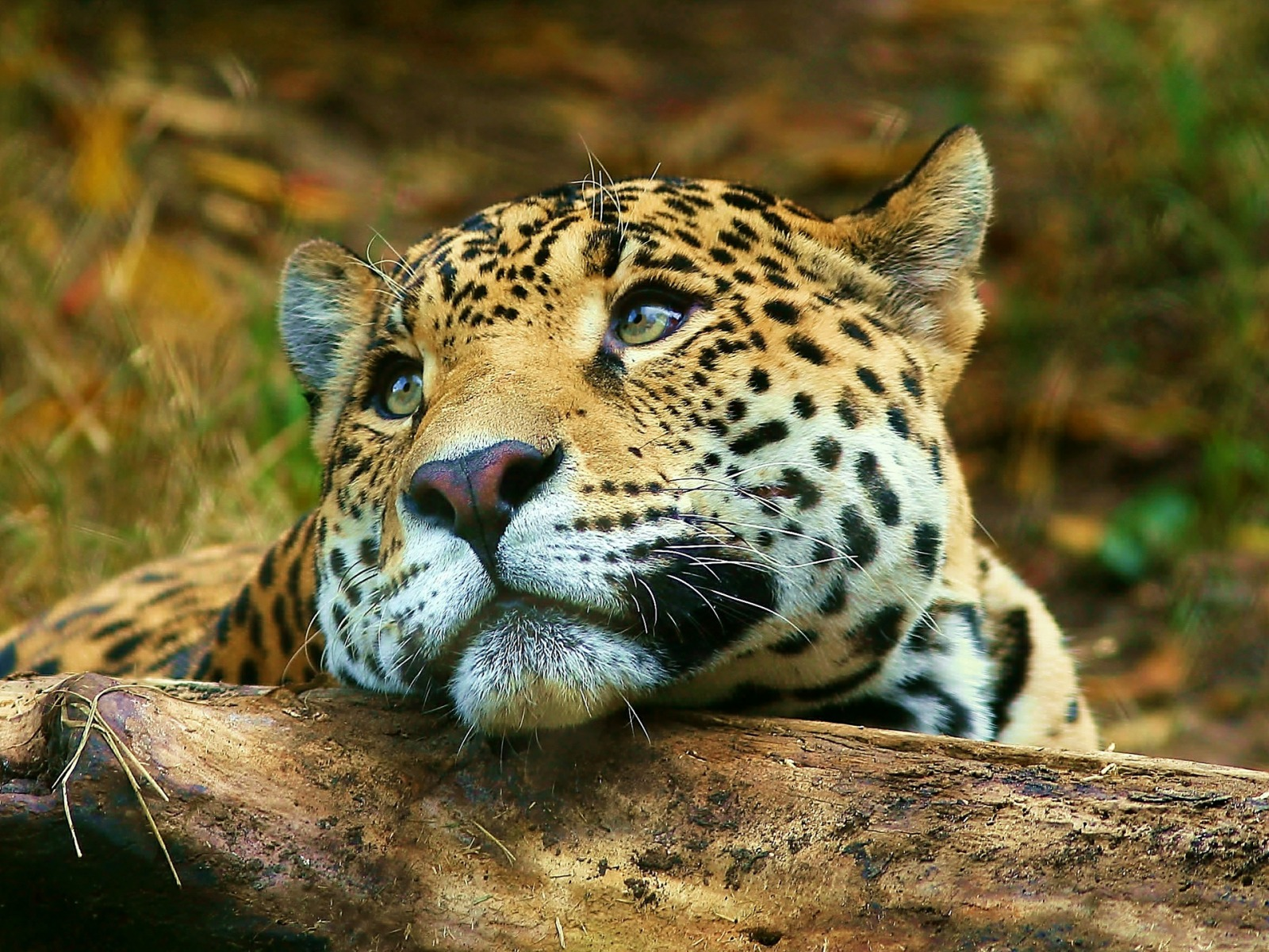 Leopard daydreaming Wallpaper Big Cats Animals Wallpapers in jpg ...
