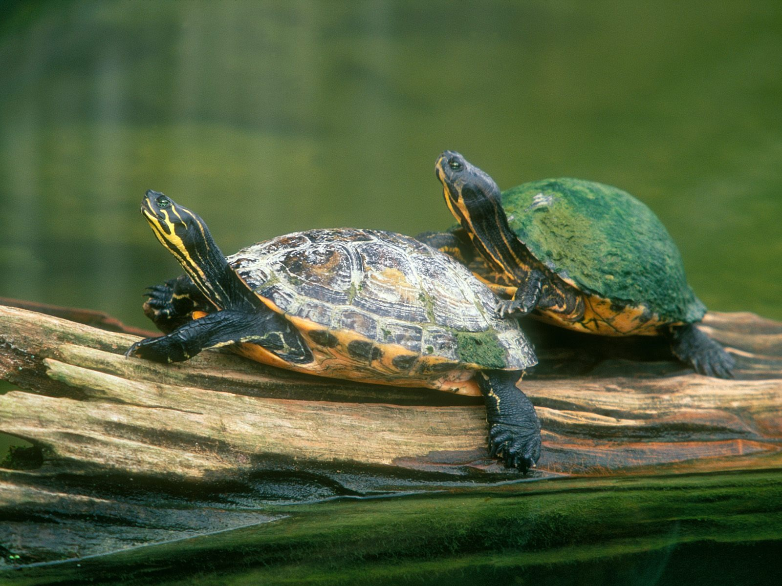 Log Jumping Peninsula Cooter Turtles Wallpaper Turtles Animals Wallpapers