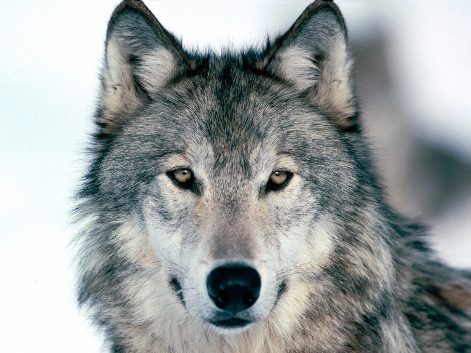 look into my eyes winter wolf wallpaper wolves animals wallpapers in