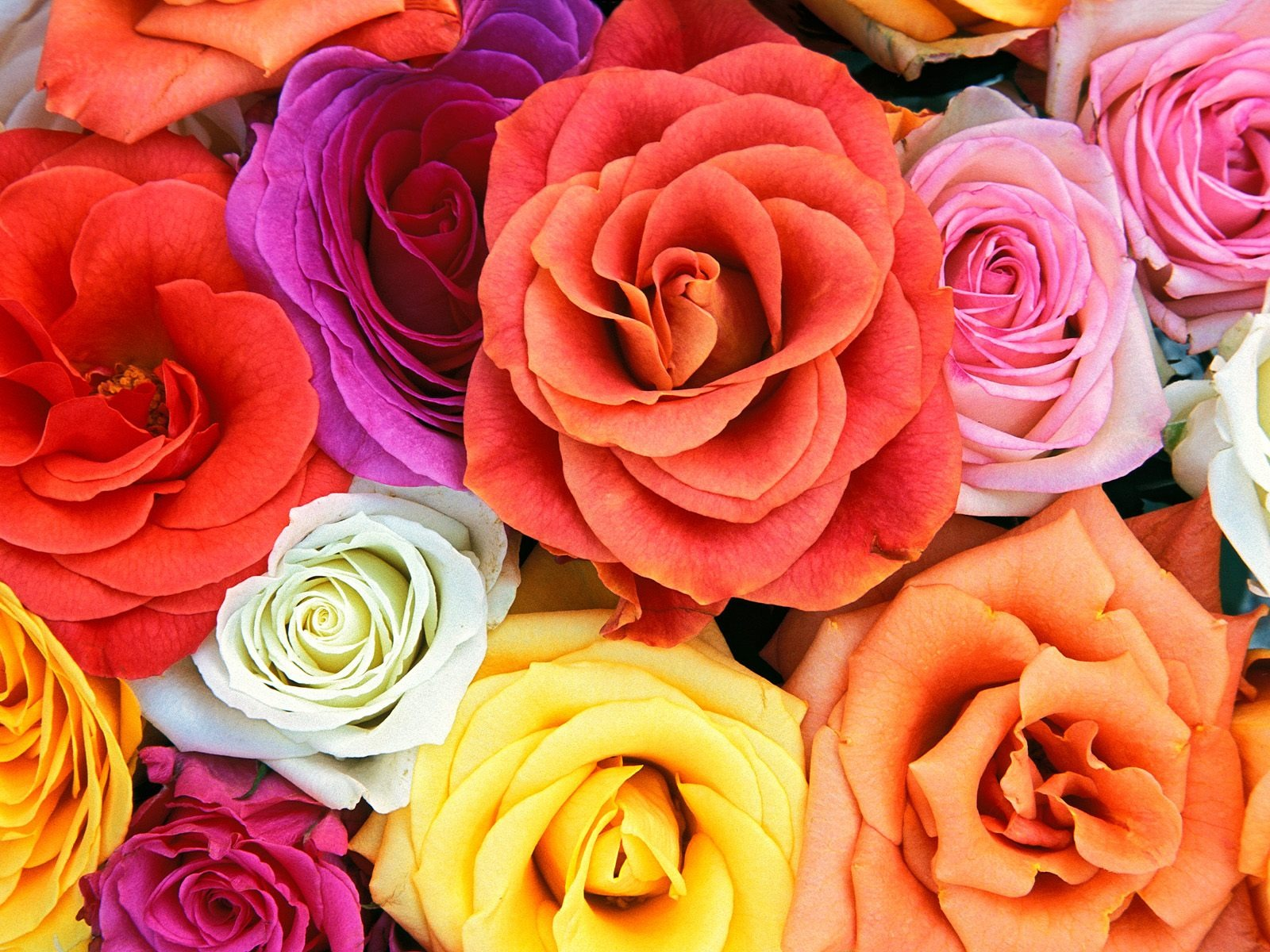 Love Blooms Roses Wallpaper Flowers Nature Wallpapers In Jpg Format