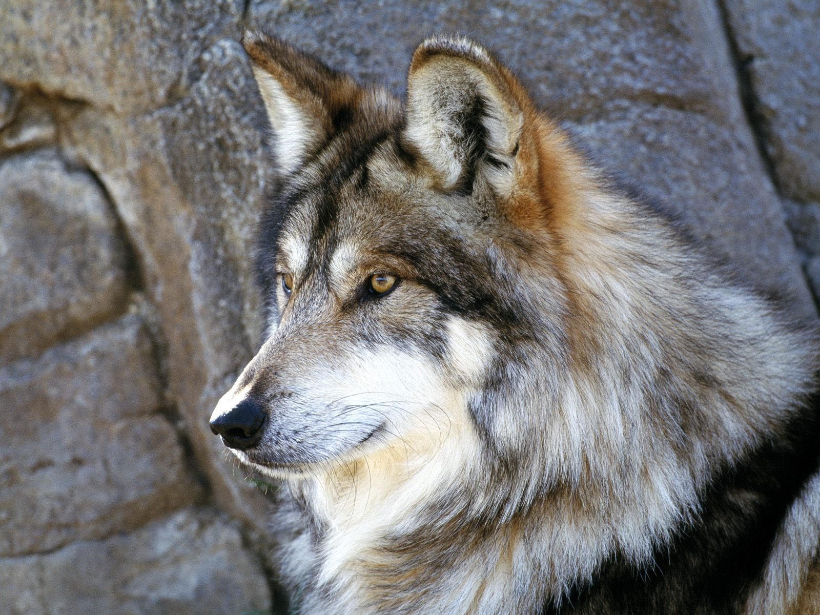 Beautiful Wallpaper Angry Gray Wolf - mexican_wolf_wallpaper_wolves_animals_469  Best Photo Reference_264999      .jpg