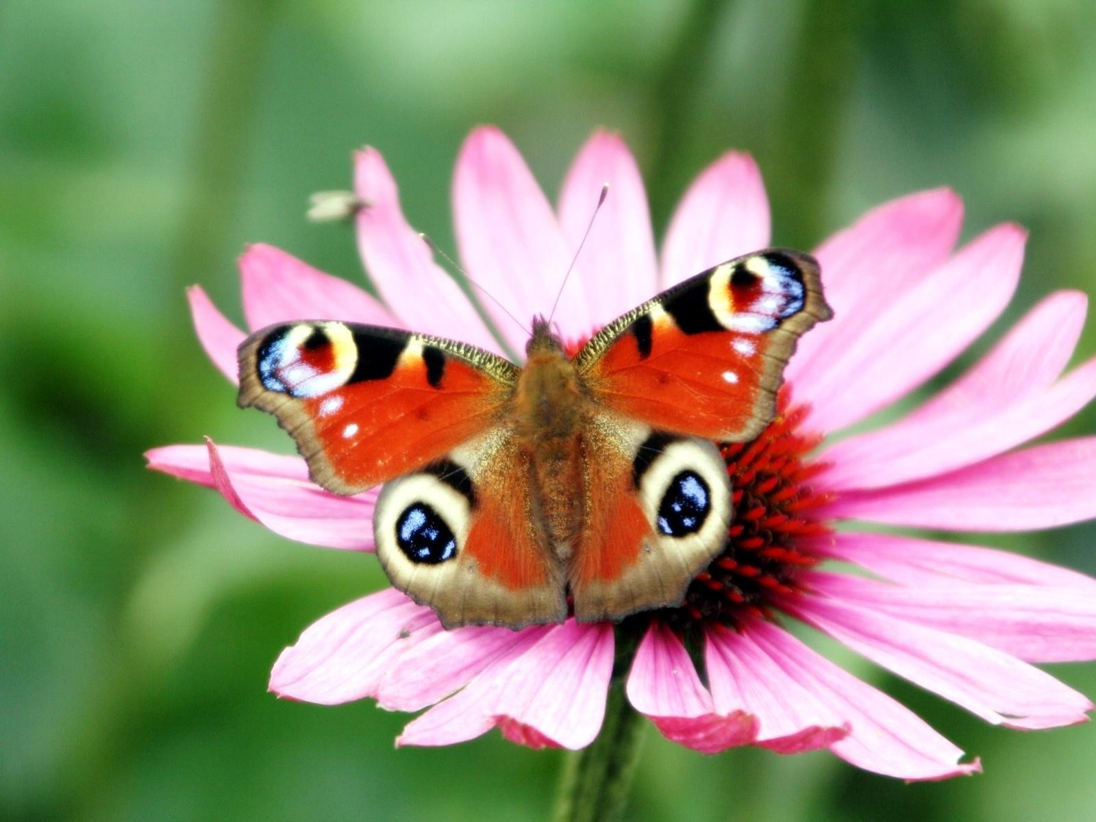 Pea Erfly Flower