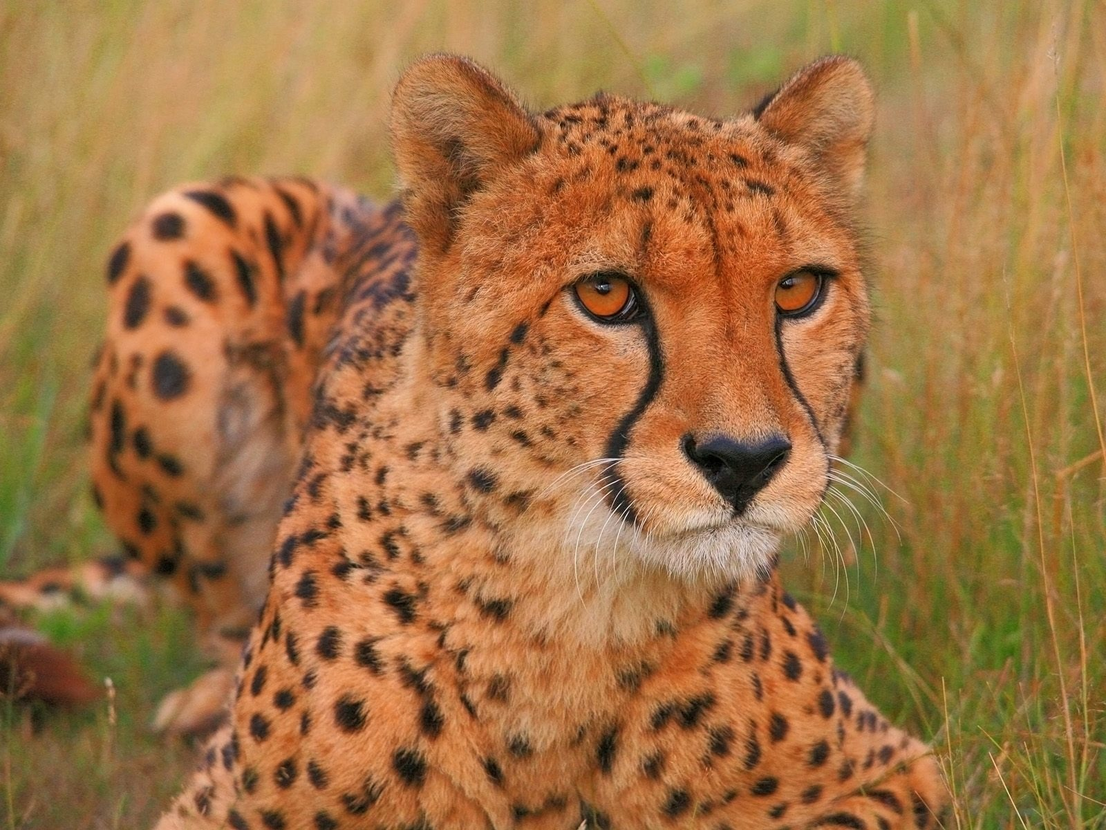 Pepo the Cheetah Wallpaper Cheetahs Animals Wallpapers