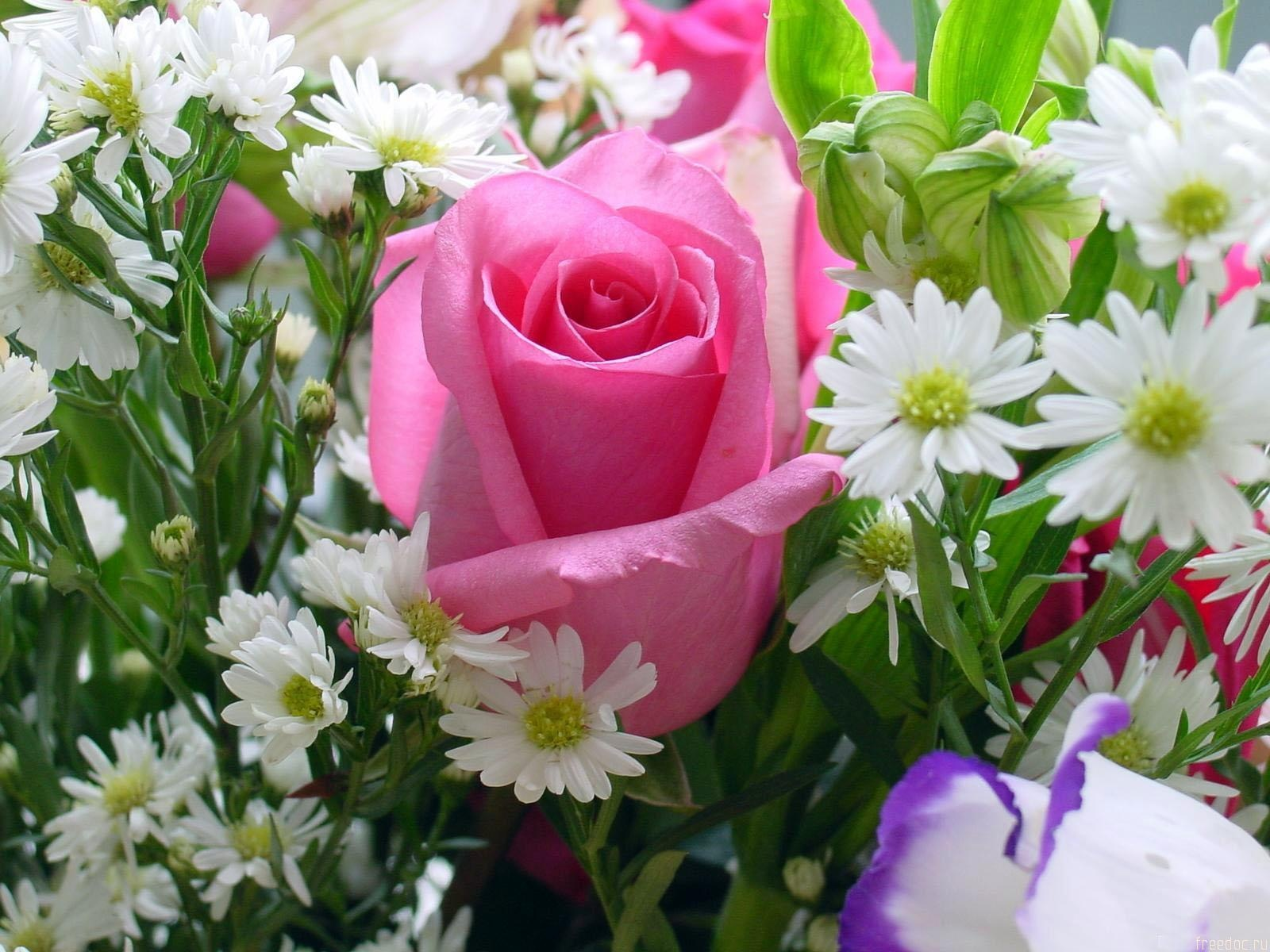 Pink Rose Wallpapers In Jpg Format For Free Download