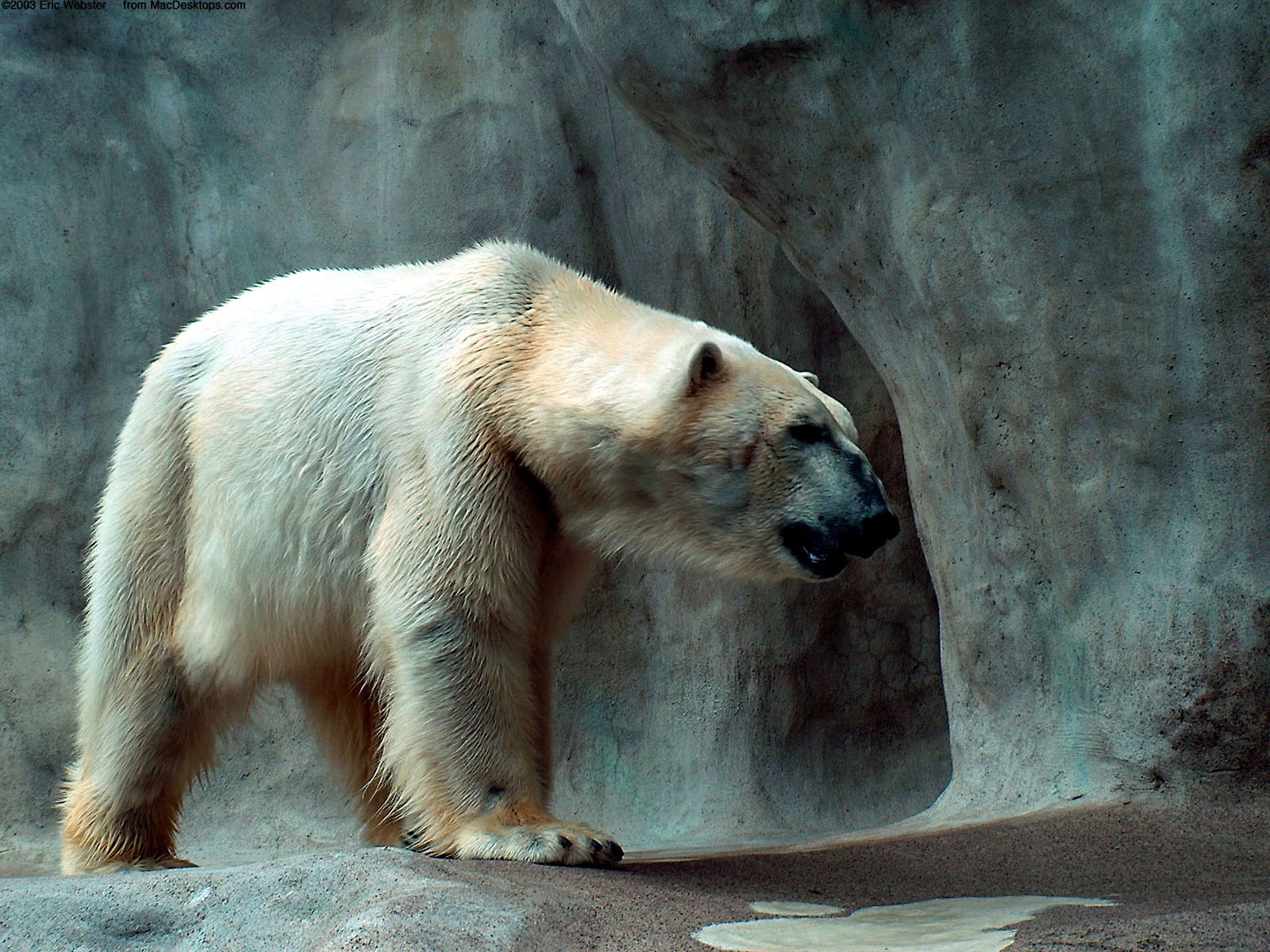 Polar Bear Wallpapers In Jpg Format For Free Download