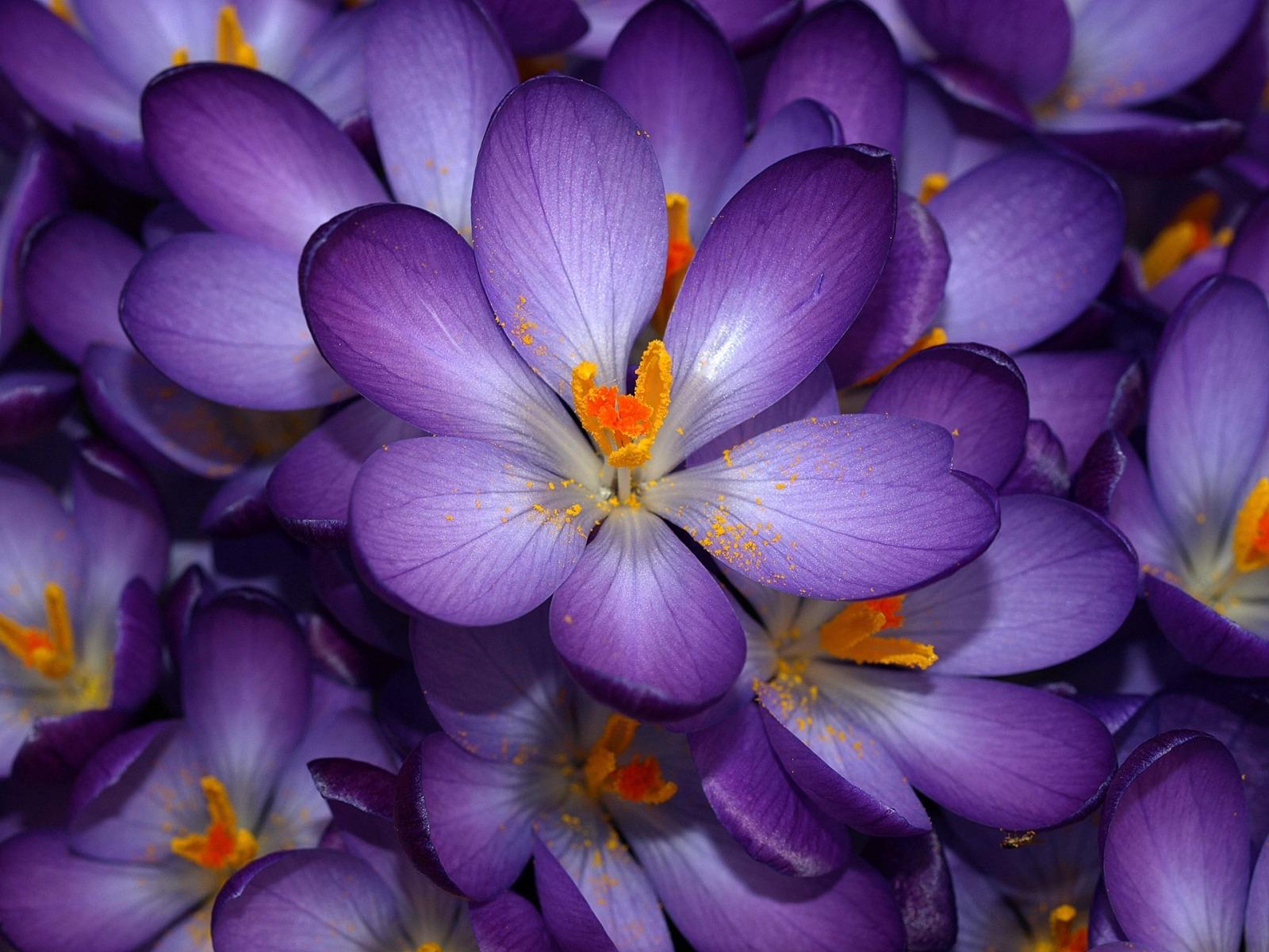 Purple crocus wallpaper flowers nature wallpapers in jpg format for 16001200 19201440 1280800 izmirmasajfo