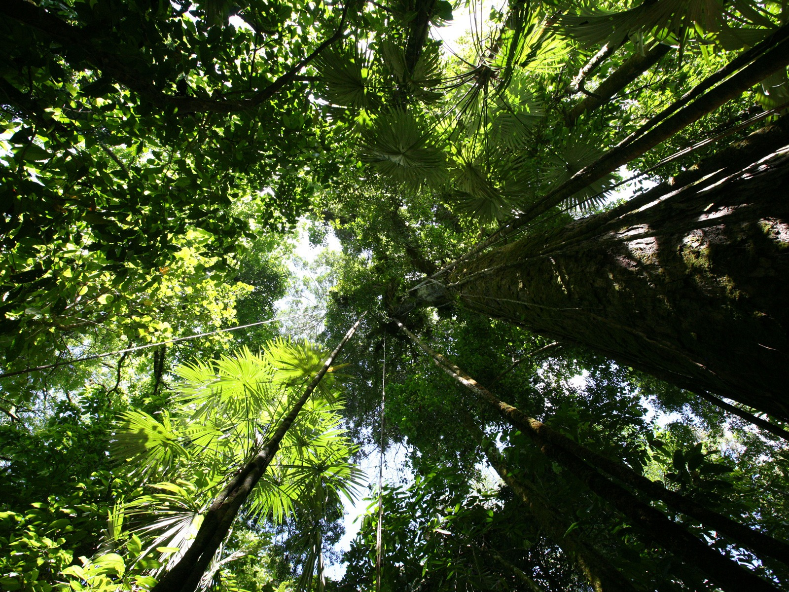 Rainforest canopy Wallpaper Plants Nature Wallpapers & Rainforest canopy Wallpaper Plants Nature Wallpapers in jpg format ...