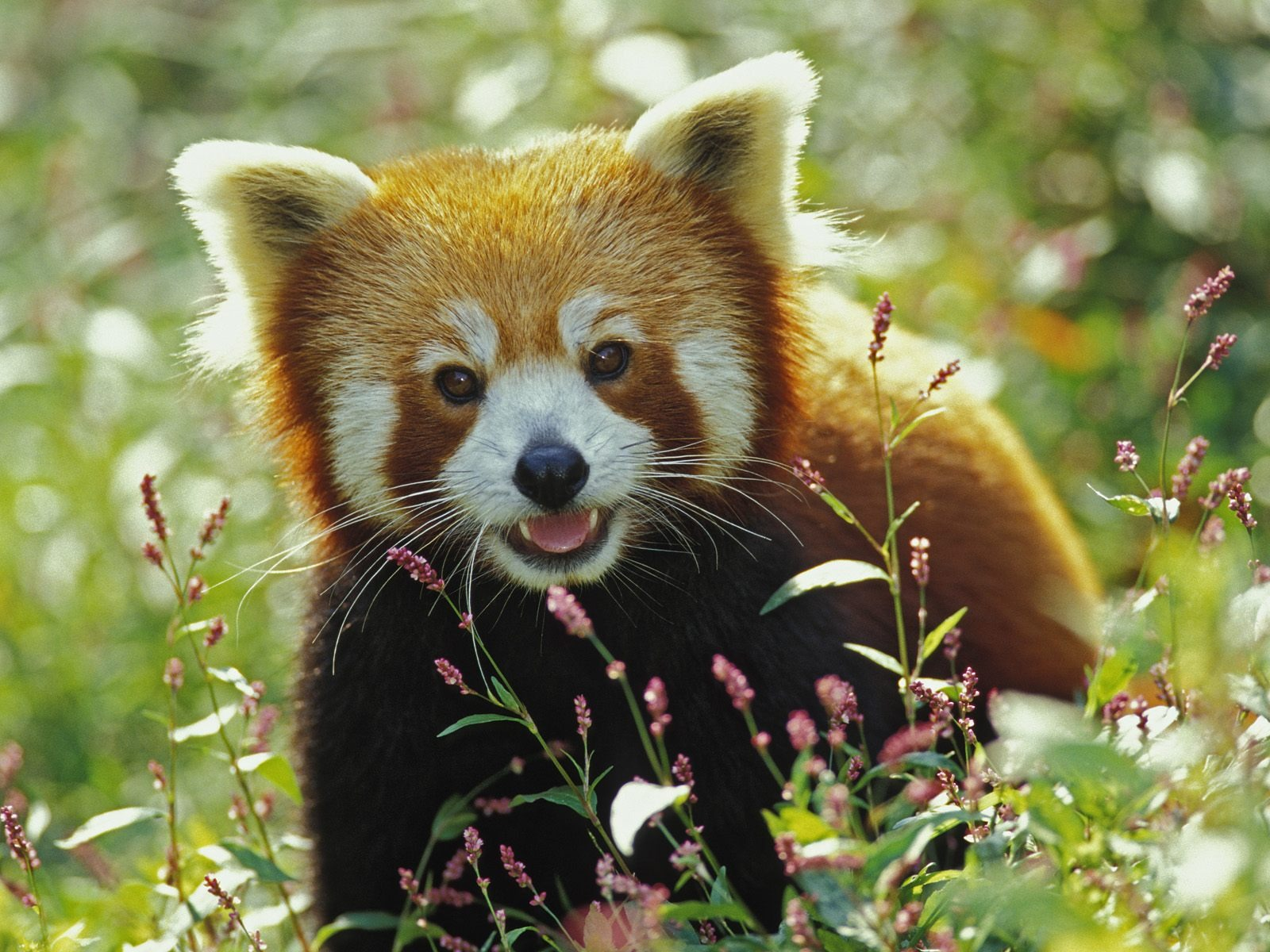 red panda wallpaper bears animals wallpapers in jpg format for free
