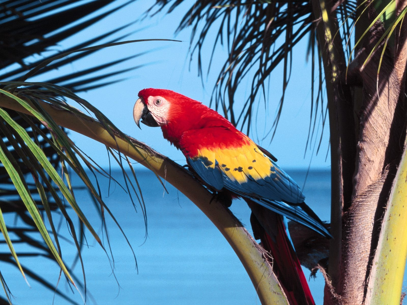 Scarlet Macaw Wallpaper Parrots Animals Wallpapers