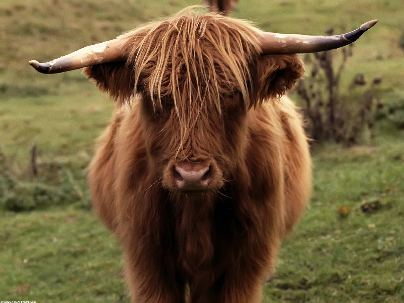 shetland cow wallpaper other animals wallpapers in jpg format for