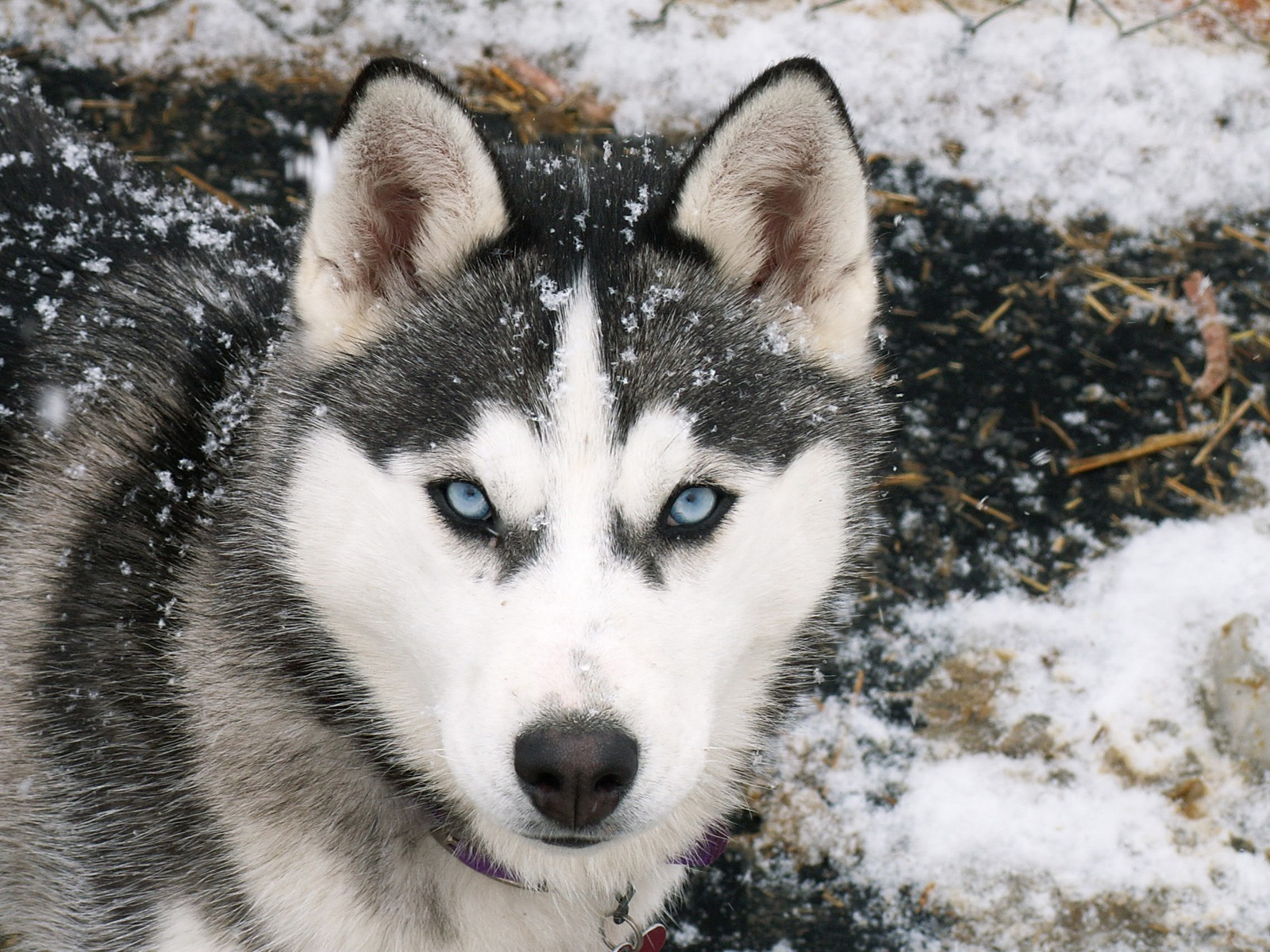 Siberian Husky Wallpaper Dogs Animals Wallpapers