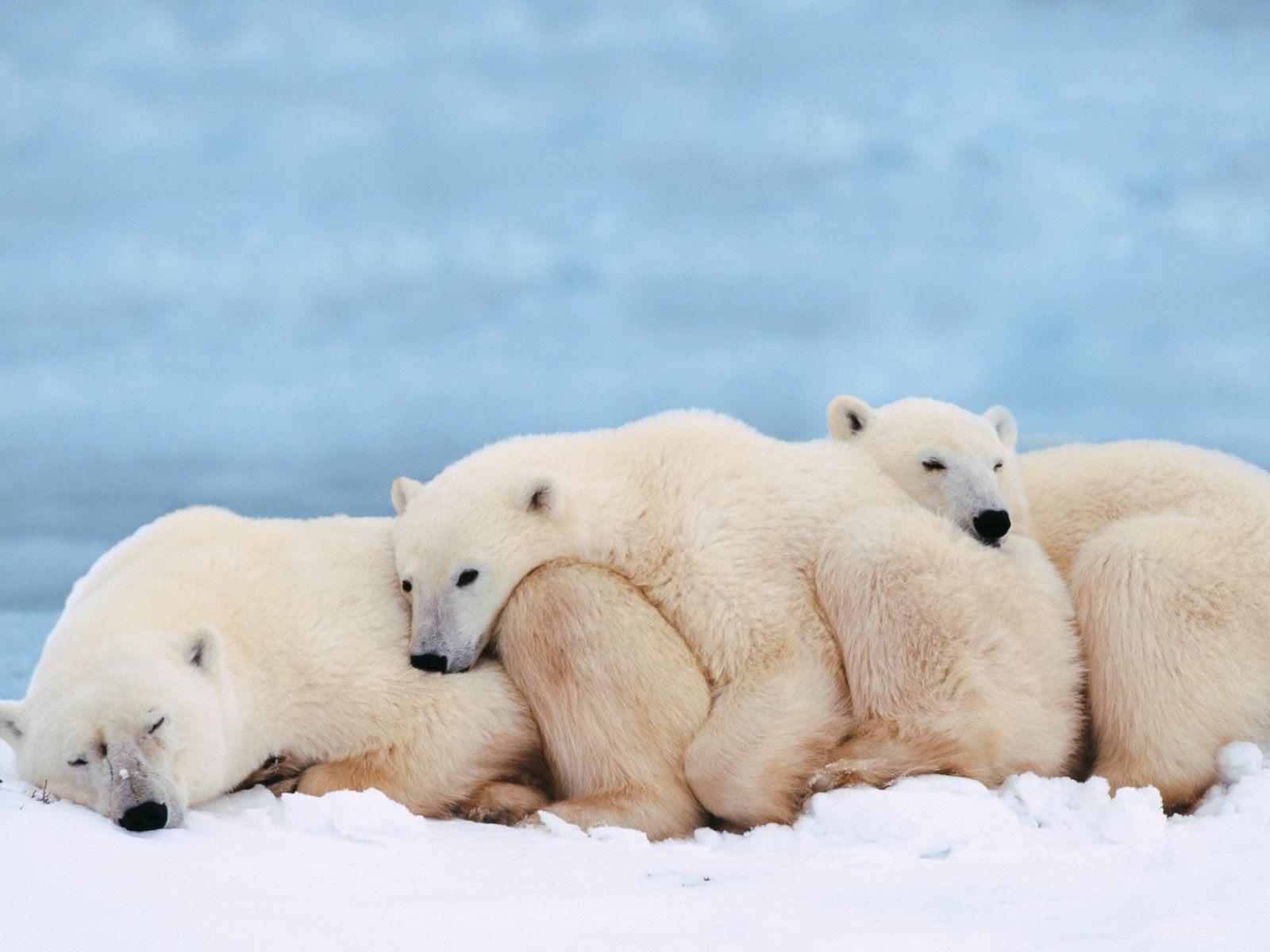 Swimming polar bears wallpaper bears animals wallpapers in jpg slumber party wallpaper bears animals voltagebd Gallery