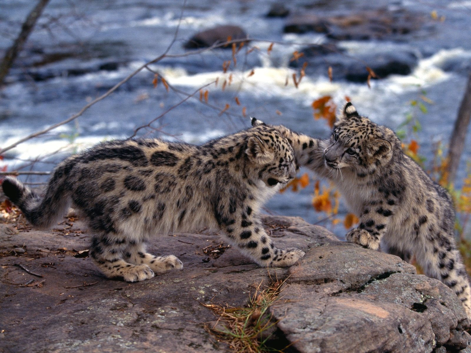 Snow Leopards Wallpaper Baby Animals Animals Wallpapers In Jpg